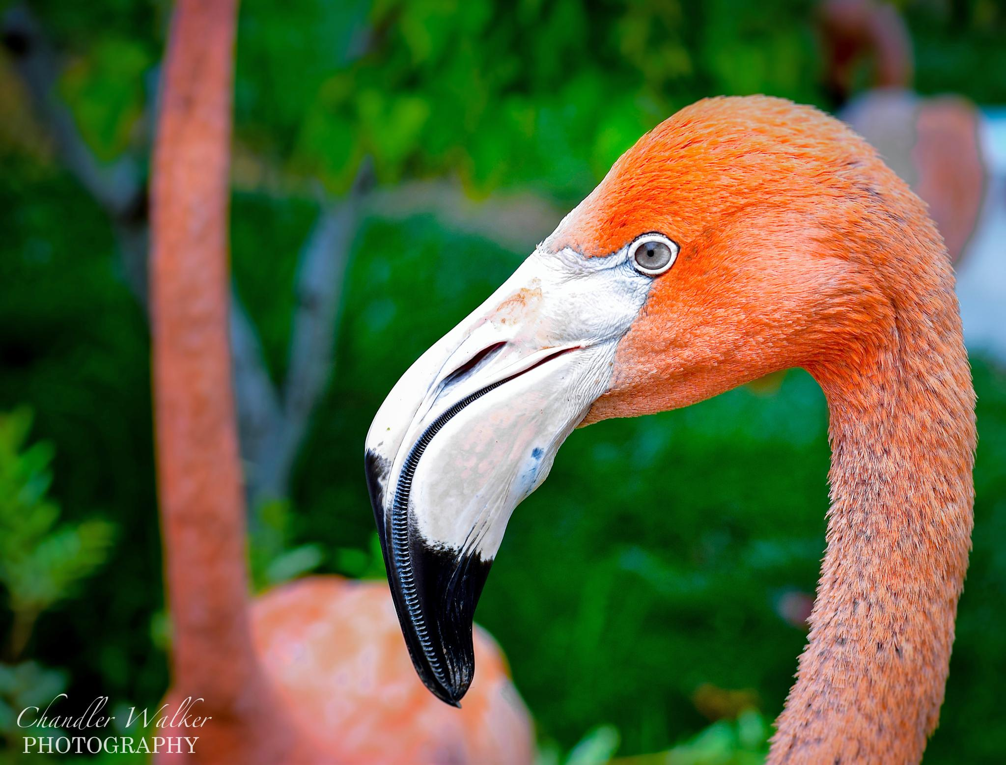 Flamingo by Chandler L. Walker
