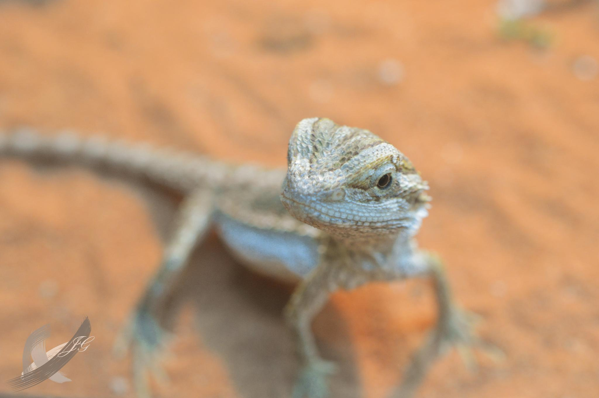 Baby Bearded Dragon by JessicaGreenslade