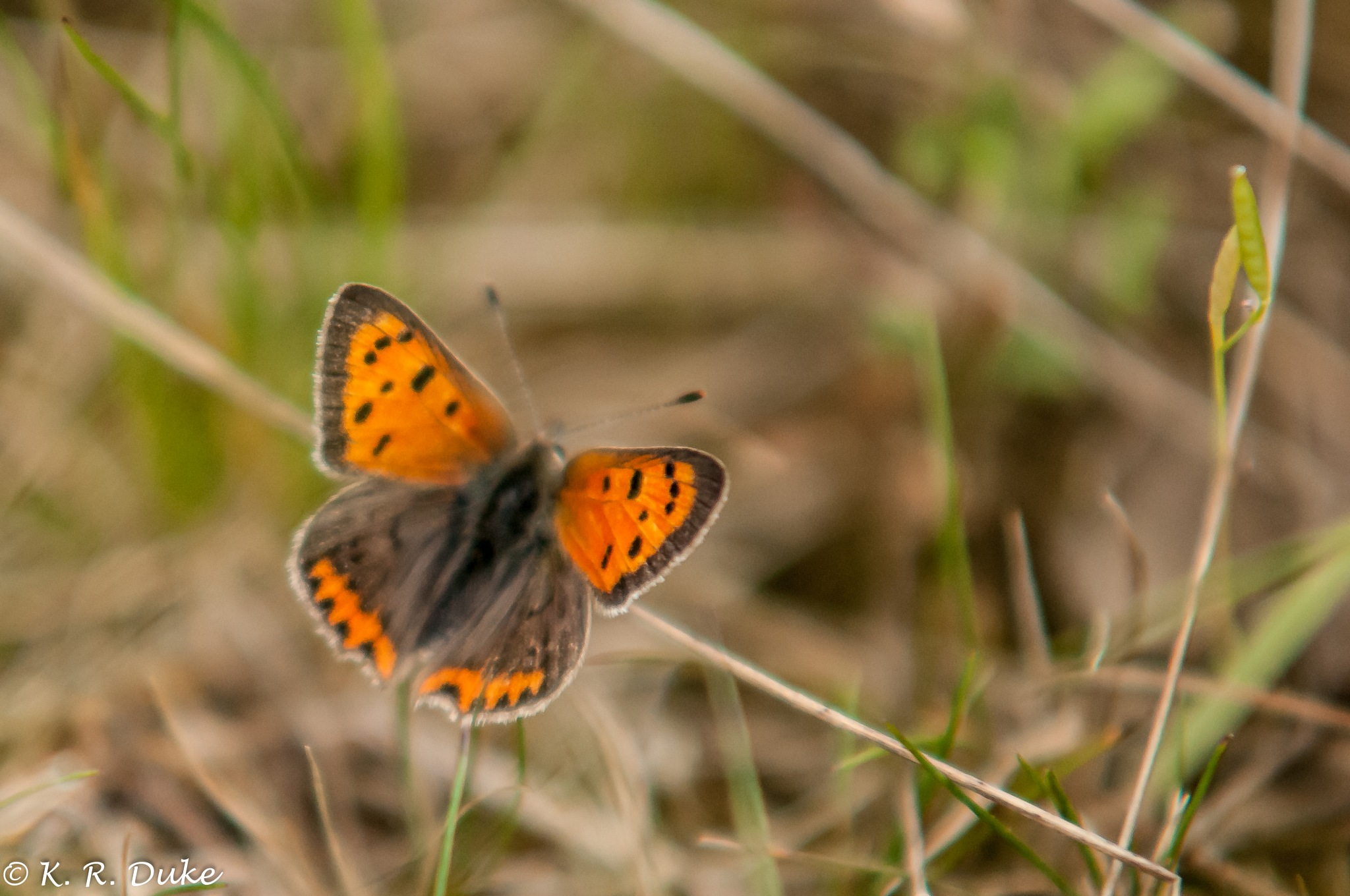 Small Copper - Lycaena phlaes - Kleine Feuerfalter  by Ken R Duke(Kenray44)