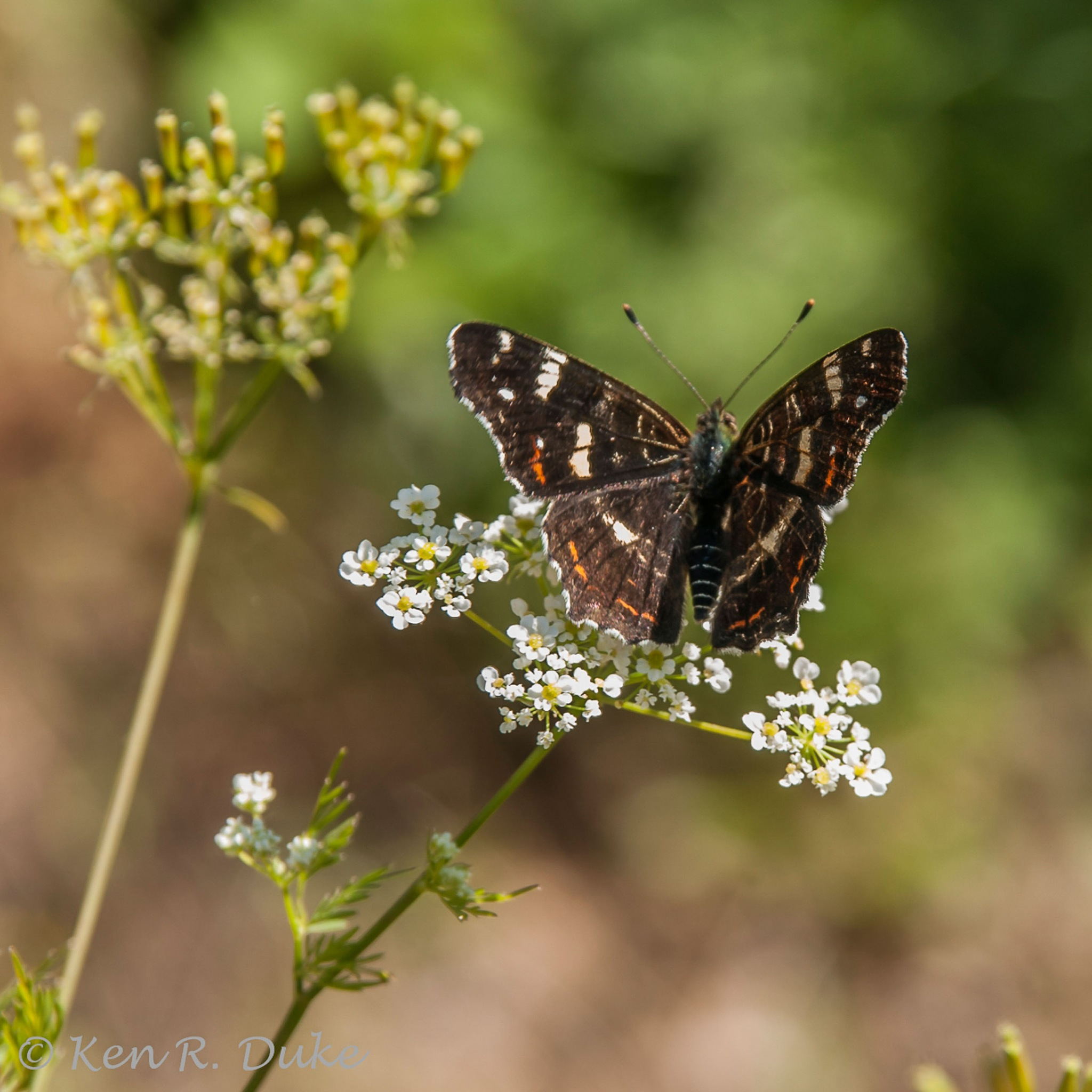 Landkartchen_Araschnia levana, Map Butterfly by Ken R Duke(Kenray44)