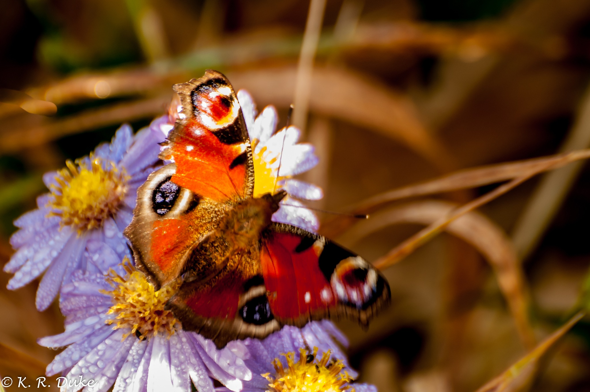 Peacock butterfly, Inachis io, Tagpfauenauge by Ken R Duke(Kenray44)