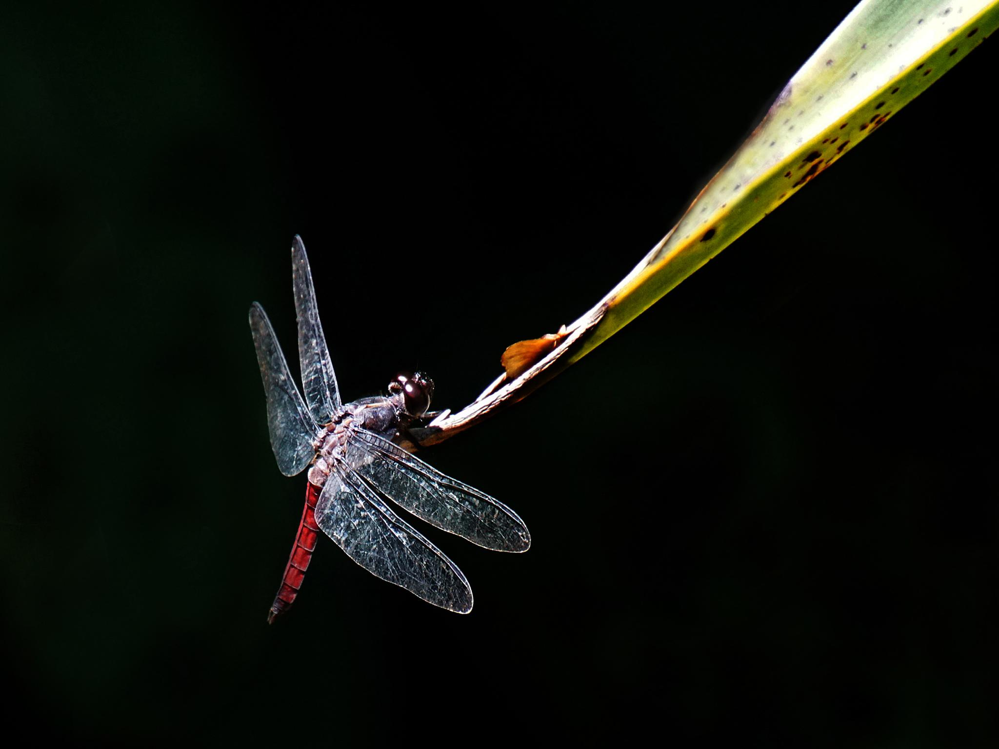 Dragonfly by Elly Versteeg
