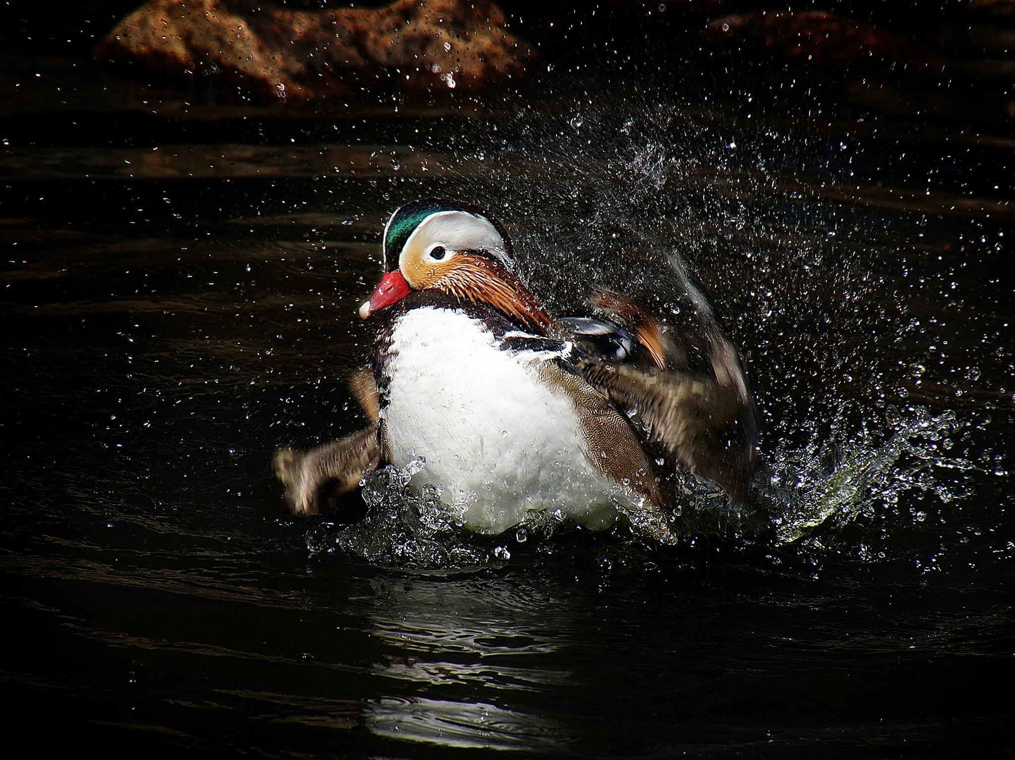 Mandarin Duck 02 by Elly Versteeg