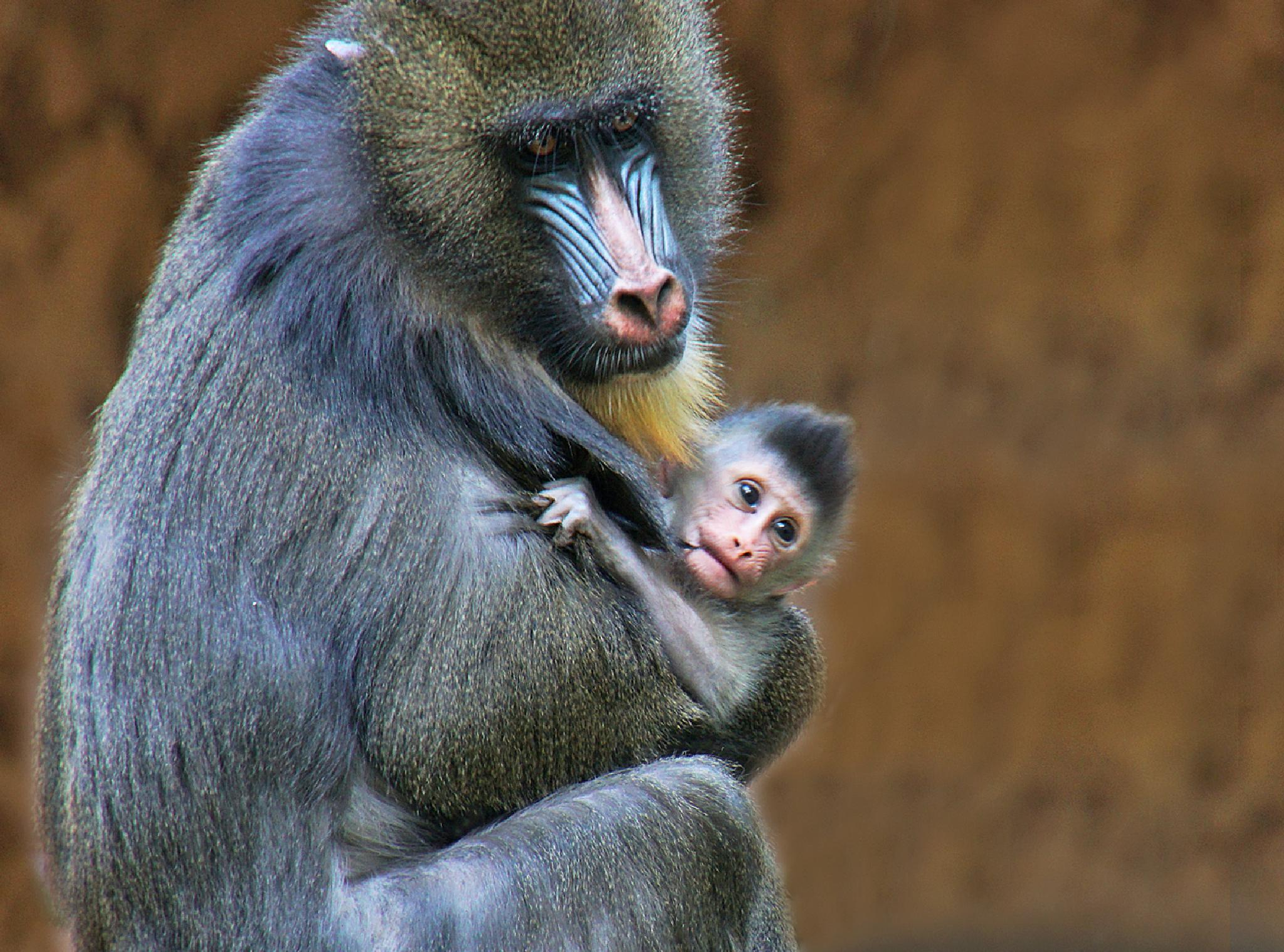 Mother and child........Mandrill by Elly Versteeg