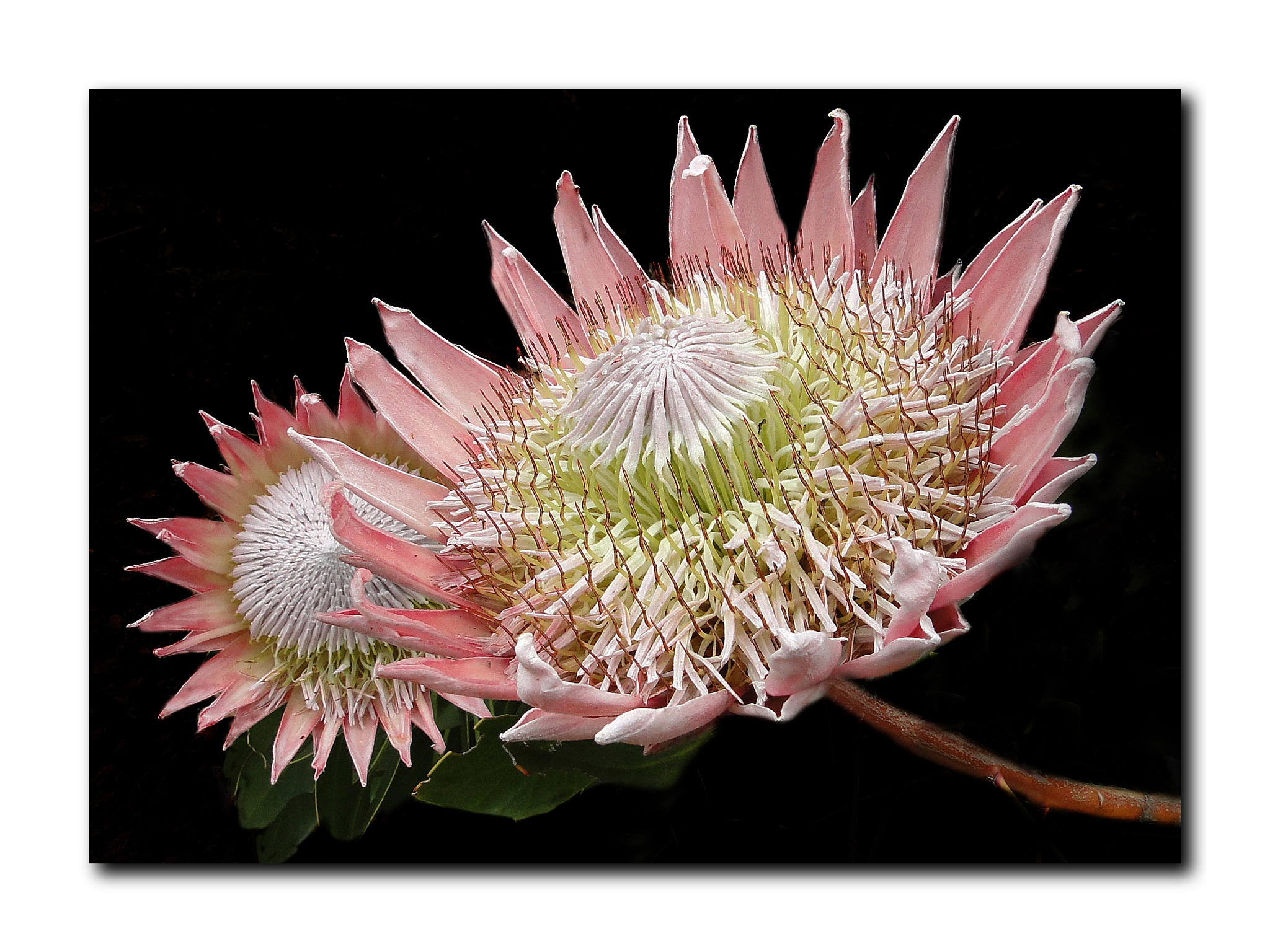King protea....The national flower of South Africa. by Elly Versteeg