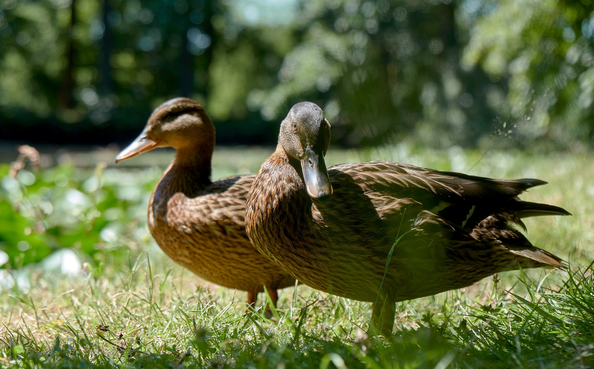 just two ducks .. by Zapp