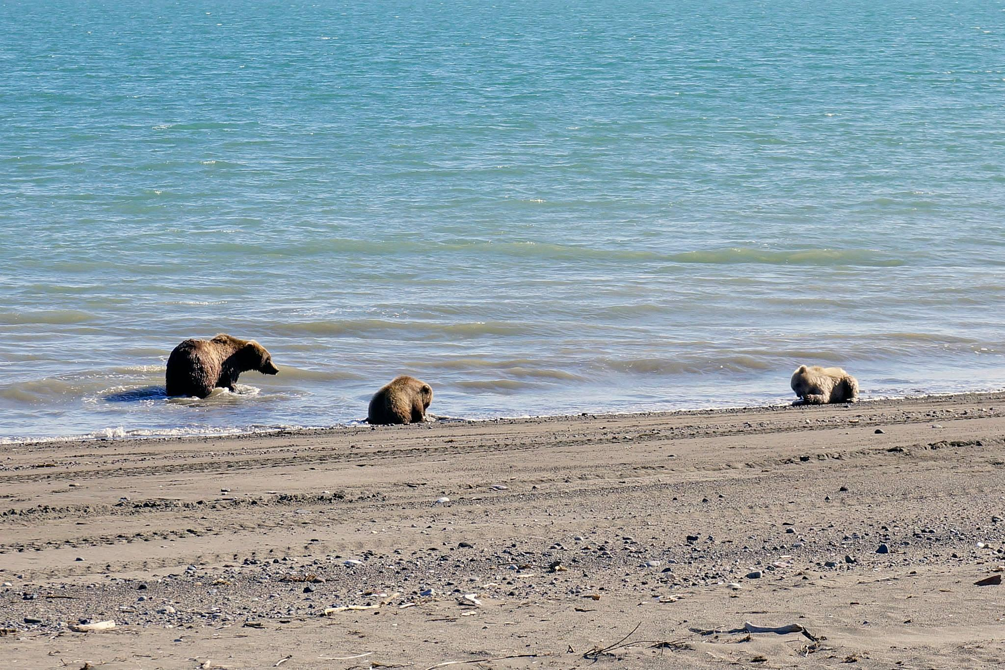 Bears having lunch by Charles Sather