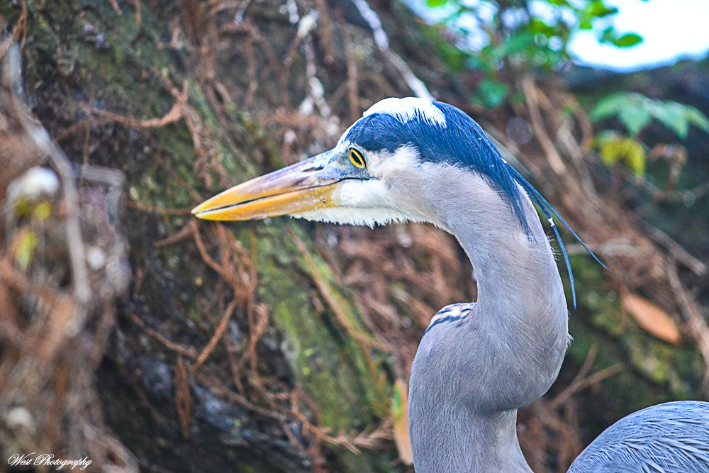 Great Blue Heron 1 by West Photography