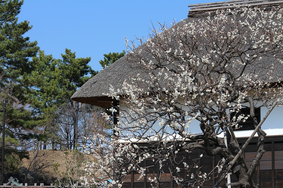 plum flowers and japanese traditional house. by K-Style Photo