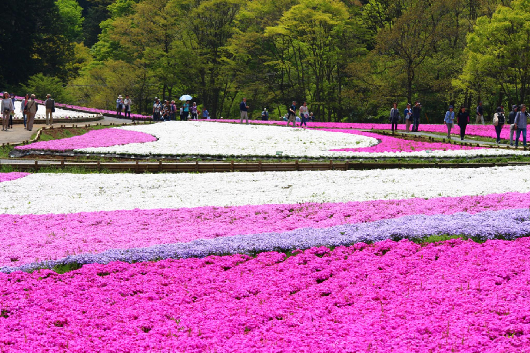 carpet of blooming phlox.(2) by K-Style Photo