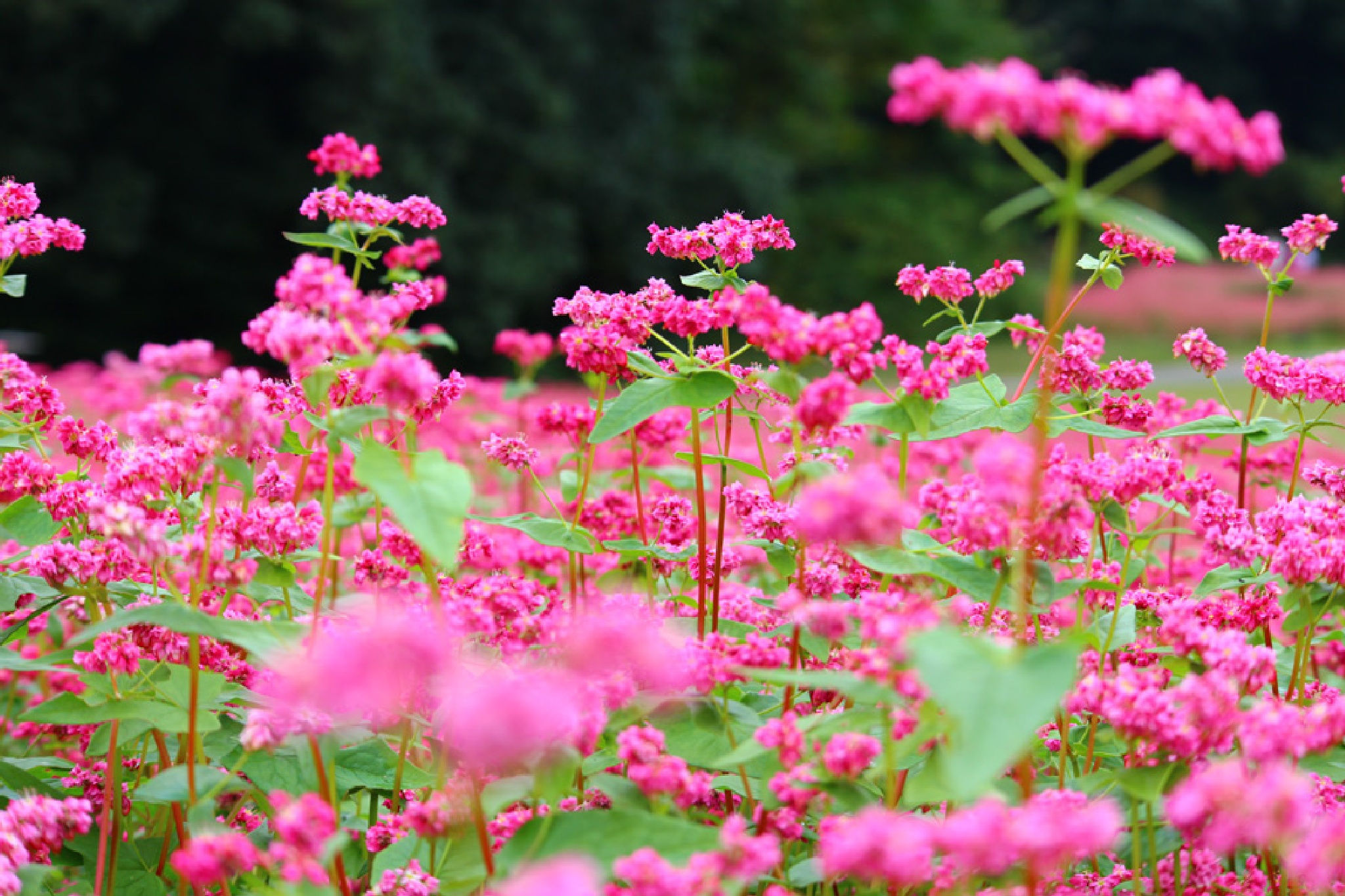 red buckwheat flowers by K-Style Photo