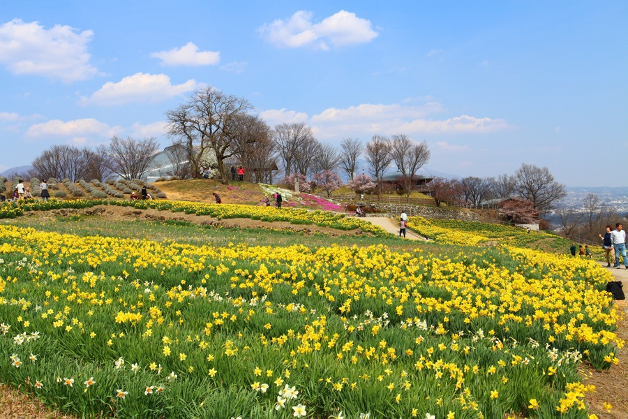 narcissus flower garden. by K-Style Photo