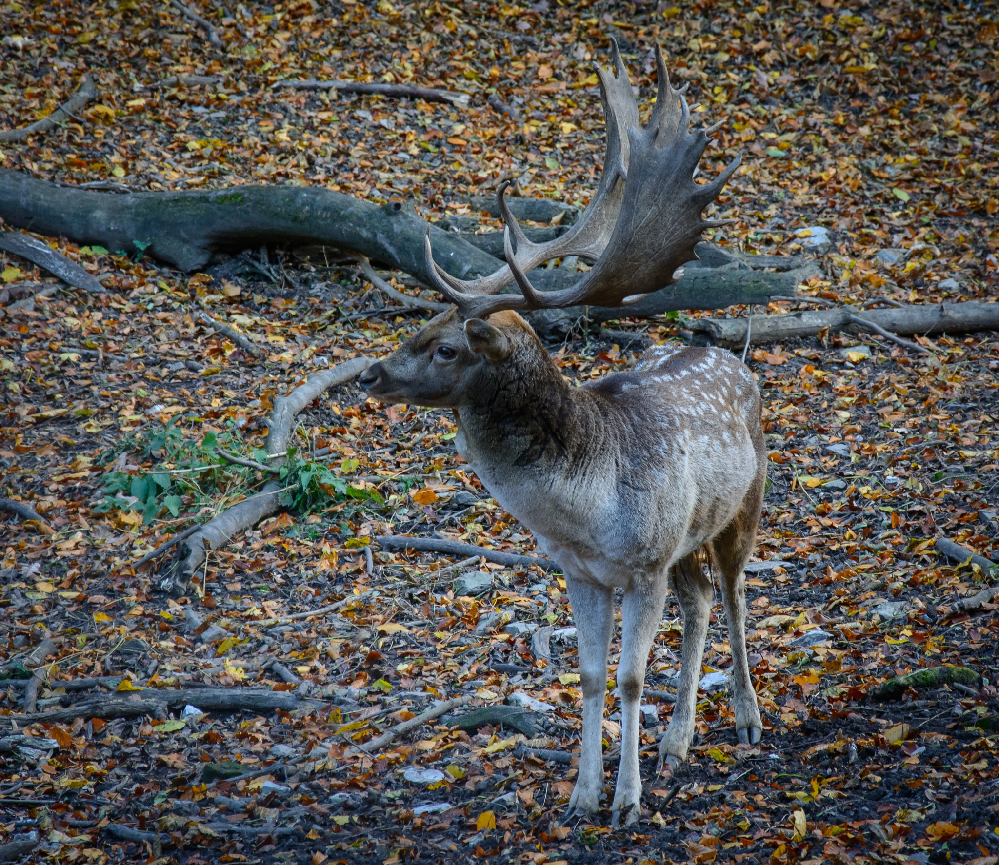 Fallow deer by tothgabor07