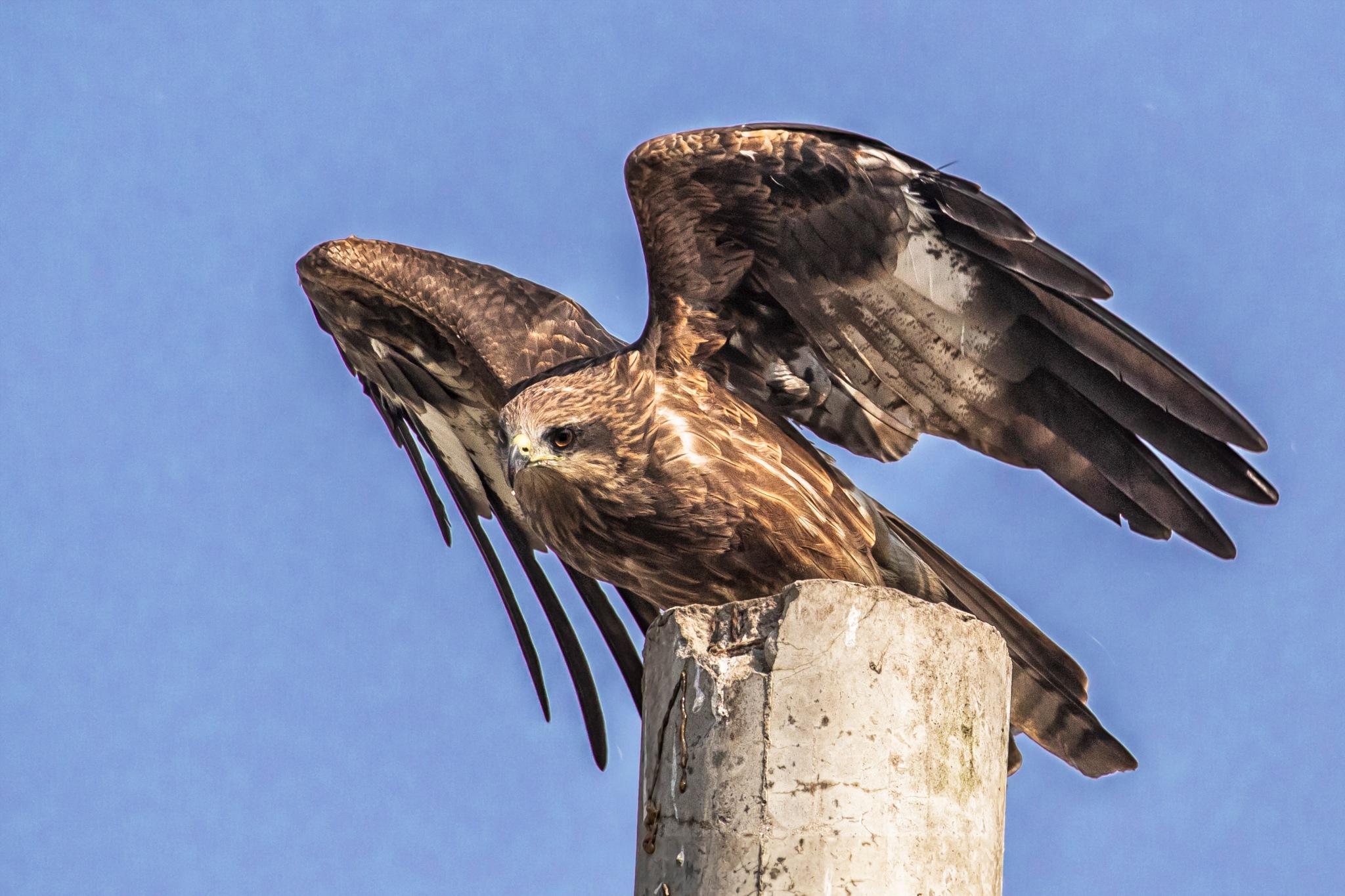 Black Kite ( ভূবন চিল ) by Arunkumar Banik