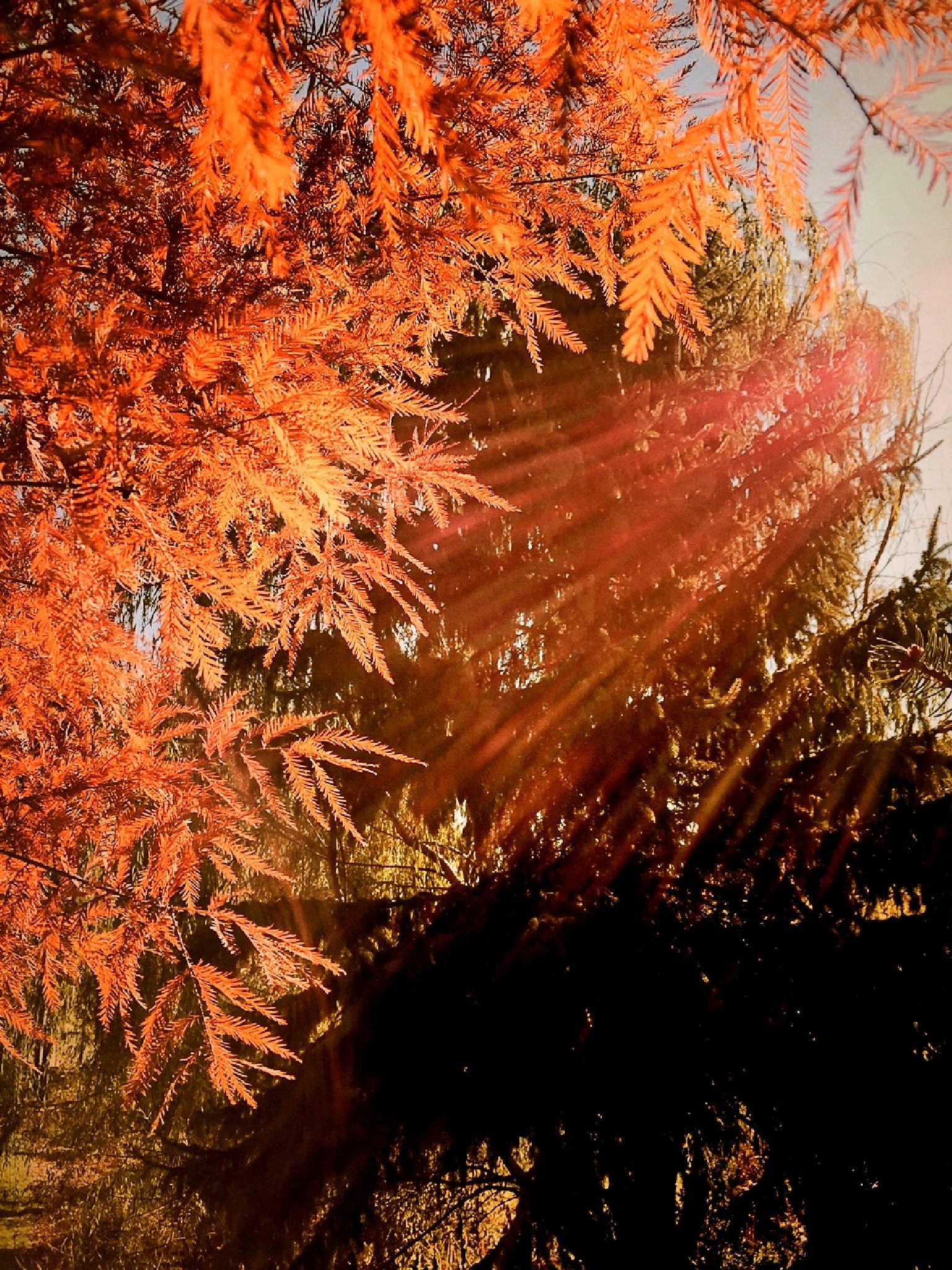 Fall Leaves, Copper Rays by Susan Wood