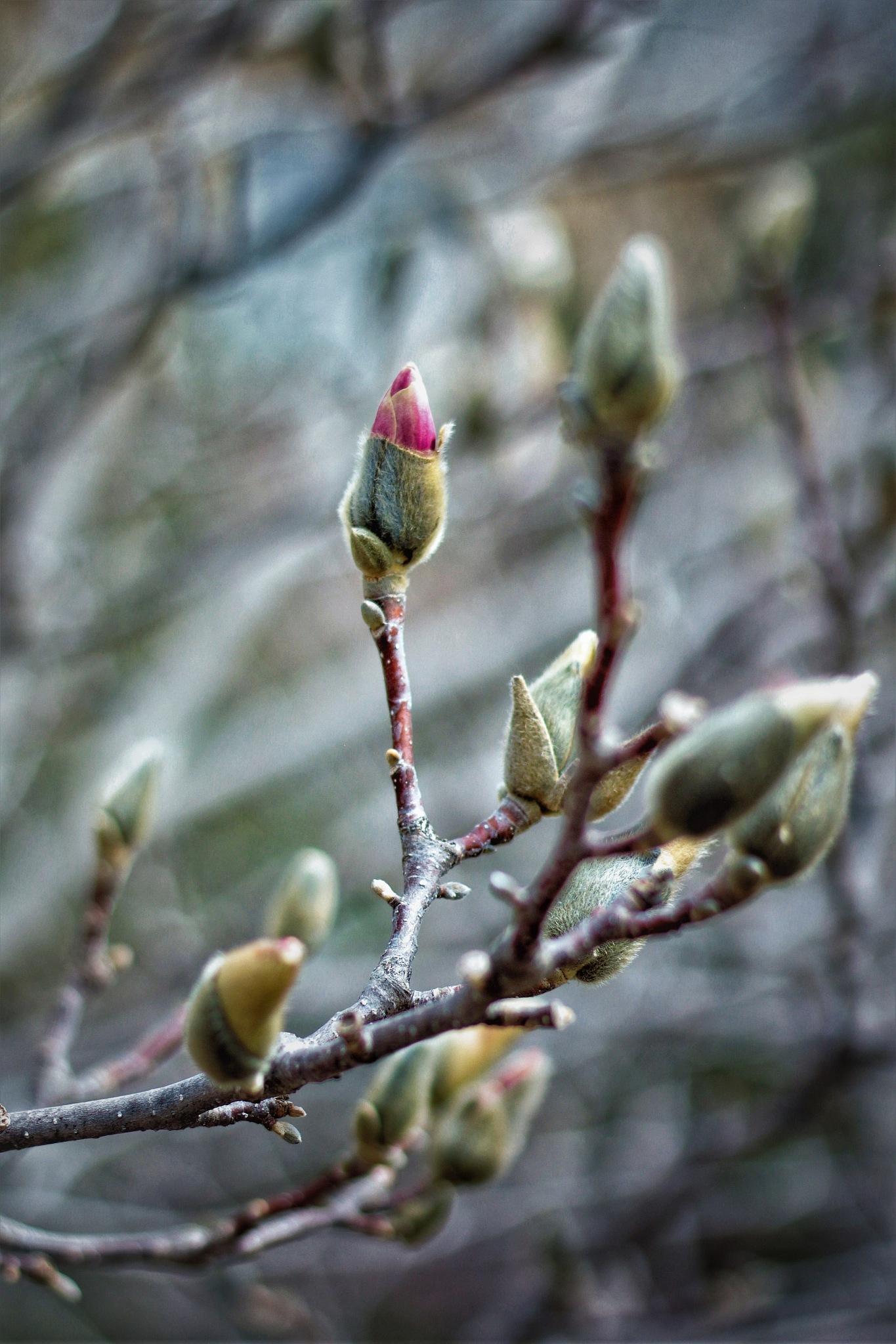 Magnolia Buds  by Susan Wood