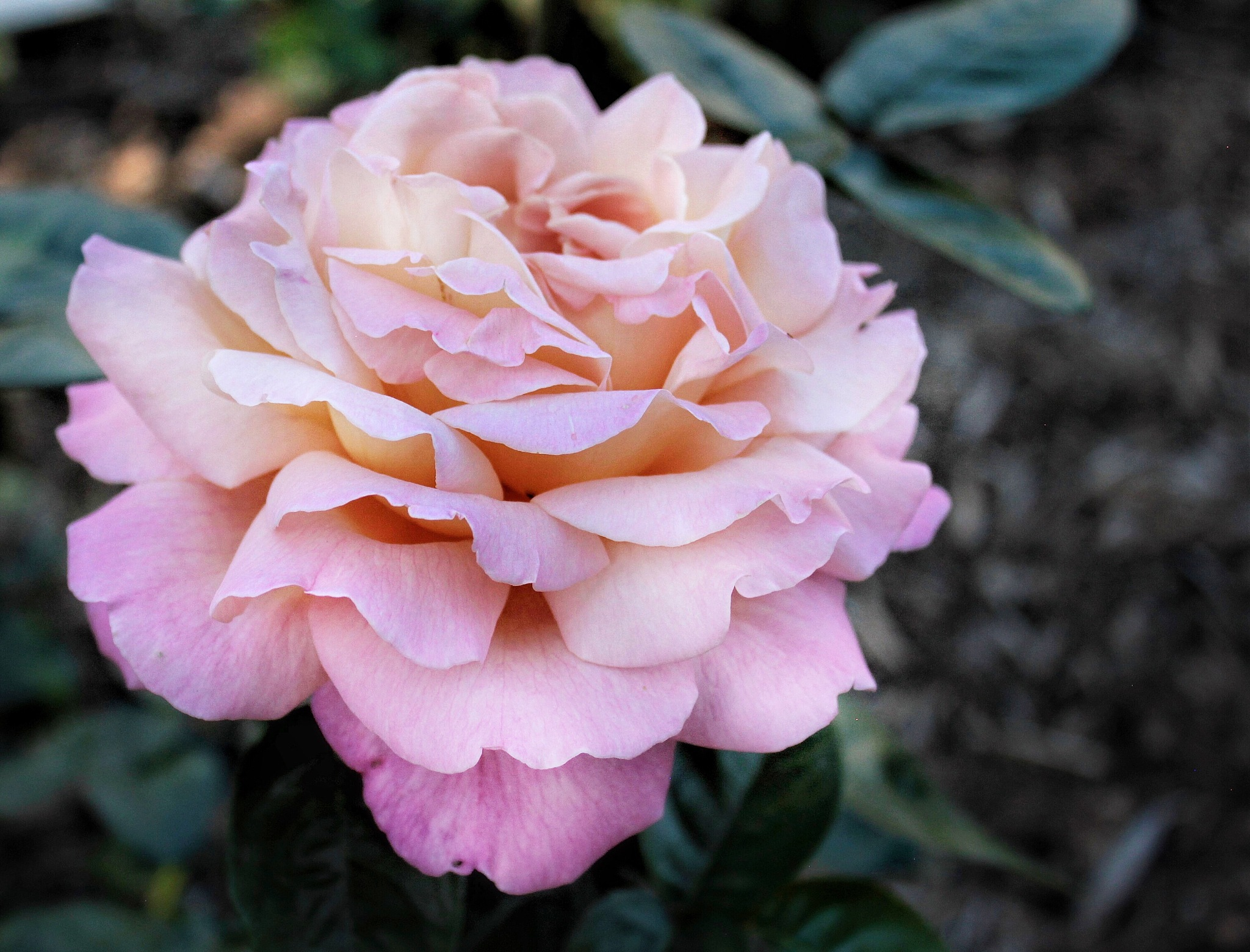 Peace Rose by Susan Wood