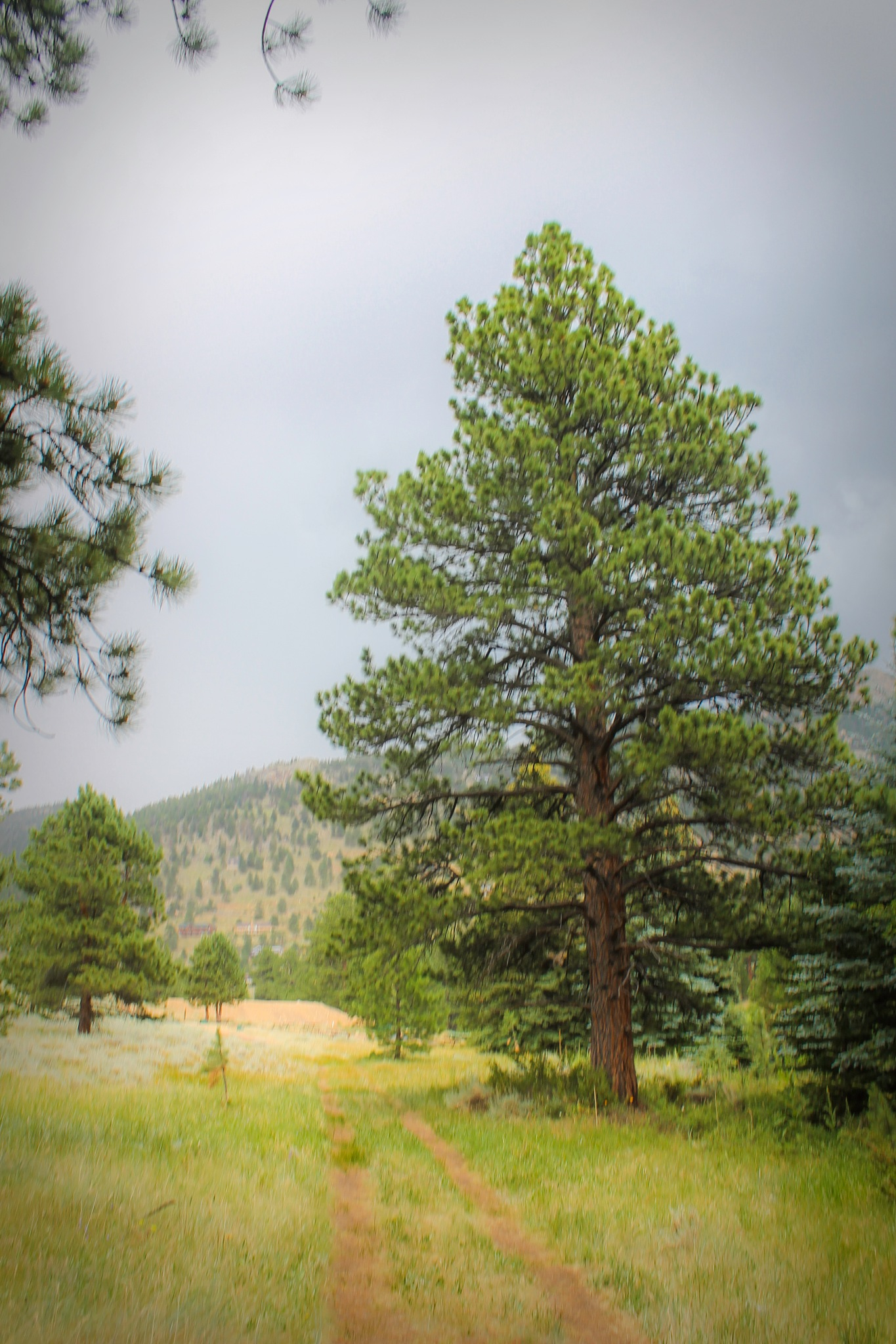 Ponderosa Pine by Mark Hootman