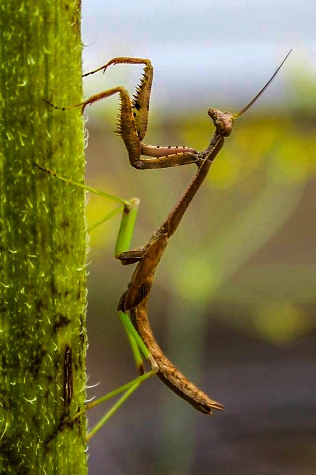 Young Praying Mantis by Mark Hootman