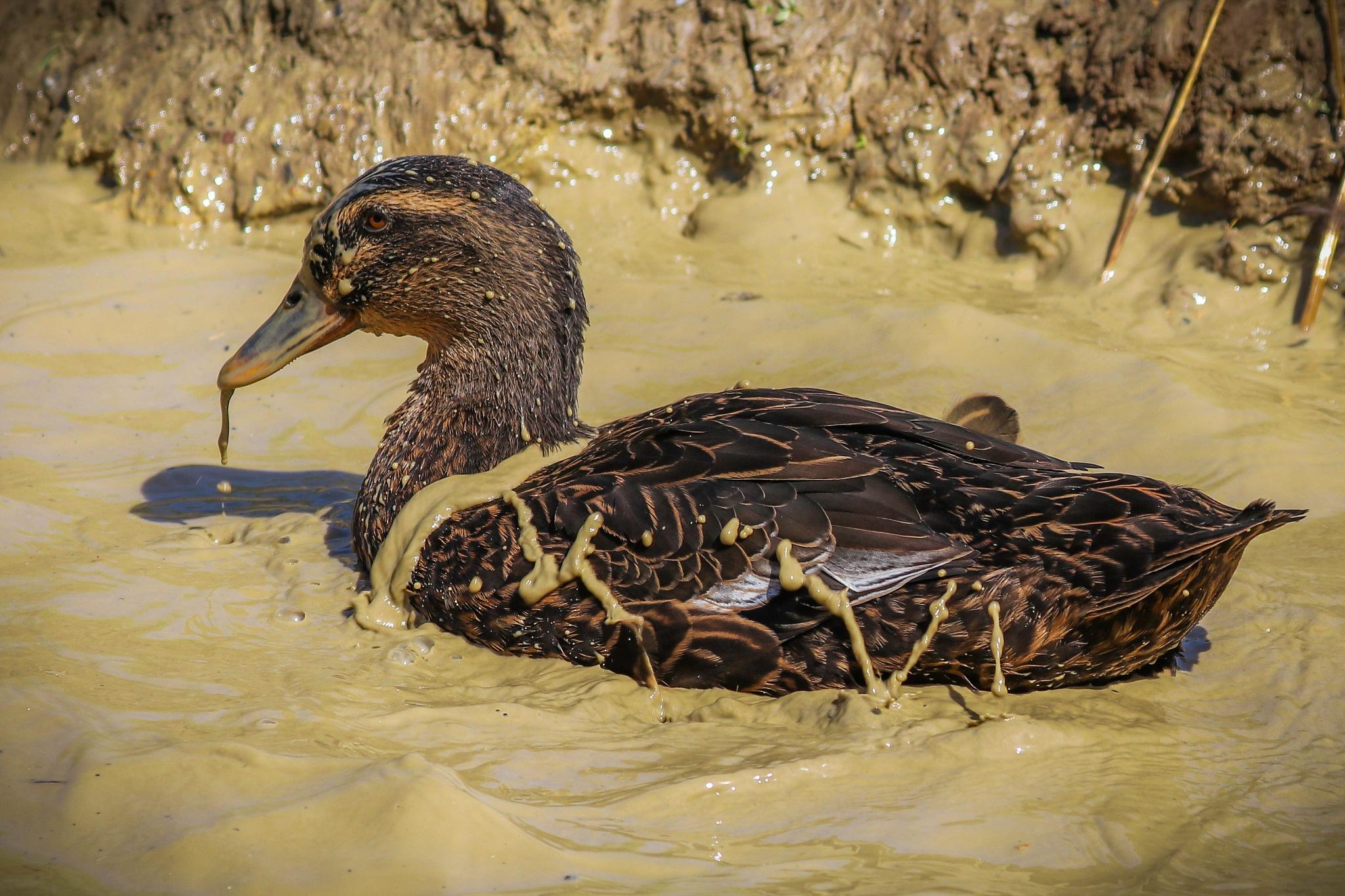 Muddy duck by Mark Hootman