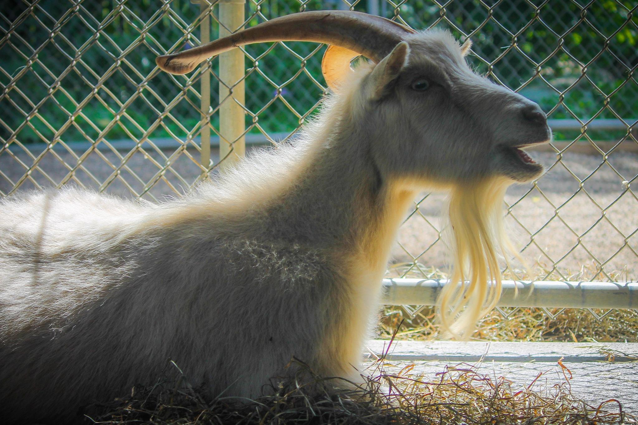 Photo in Animal #goat #zoo #beard #backlit #sun