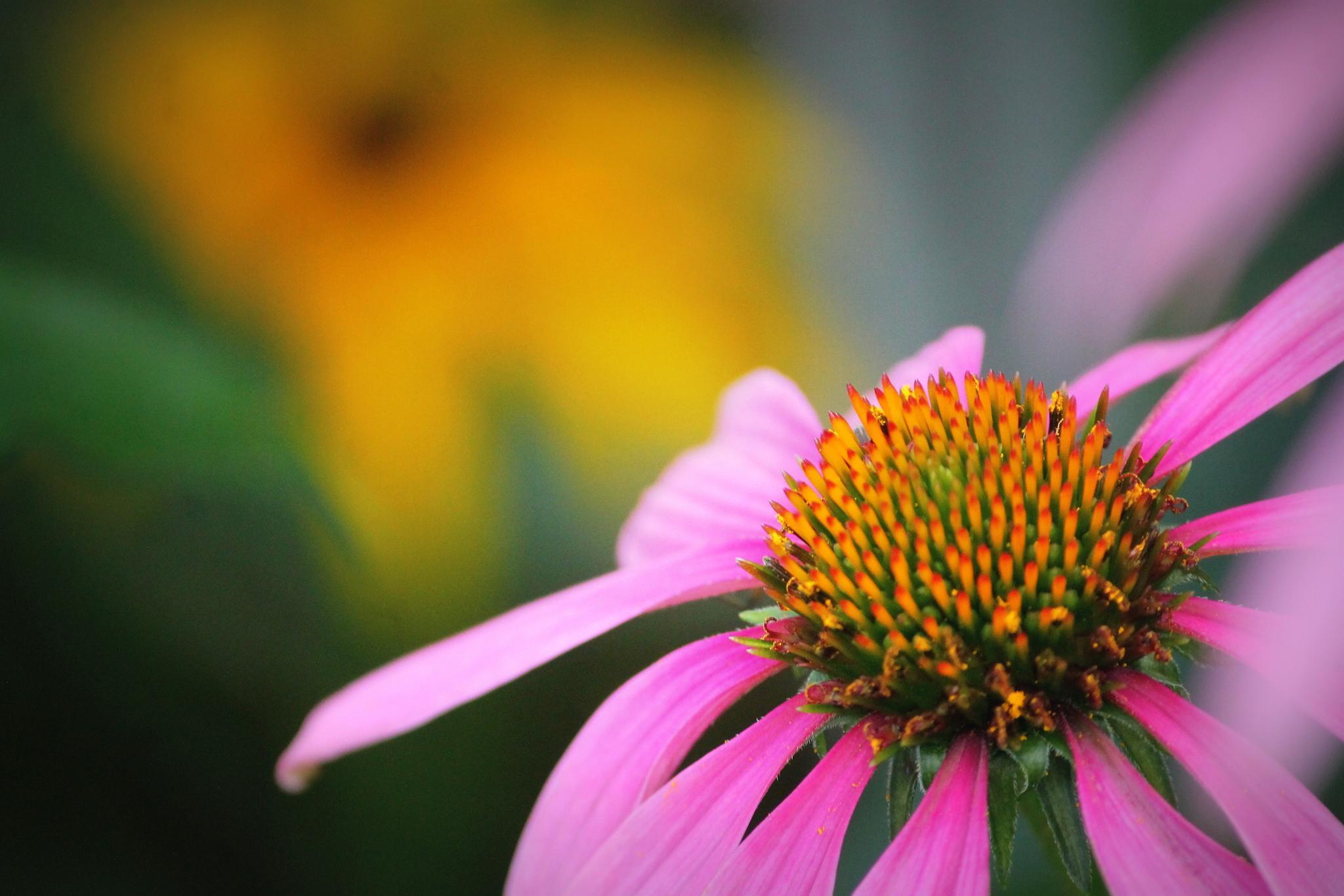Cone Flower by Mark Hootman