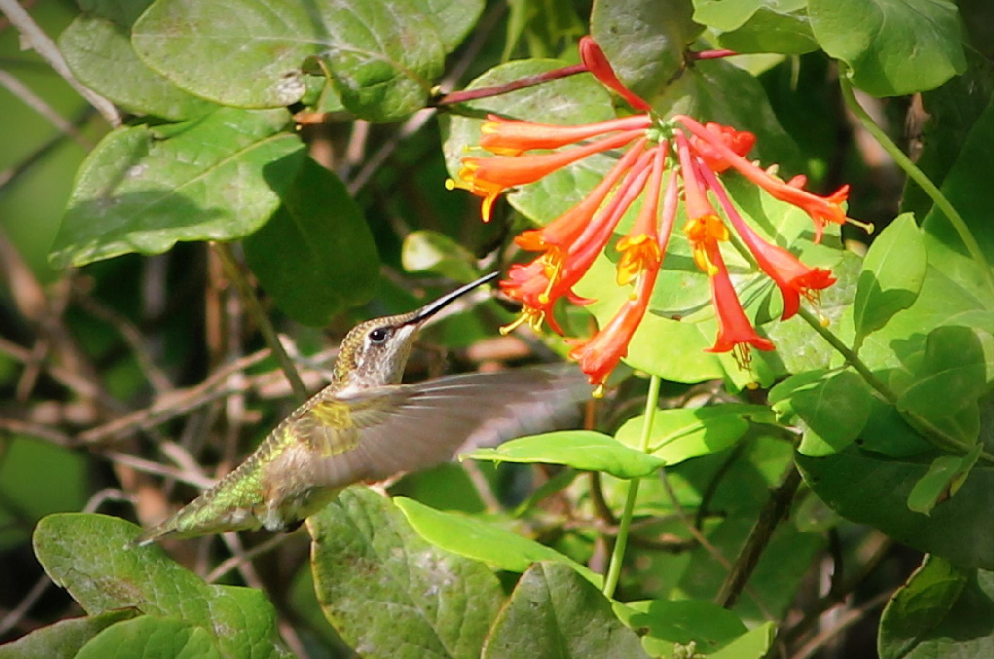 hummingbird approaching trumpet vine by Mark Hootman