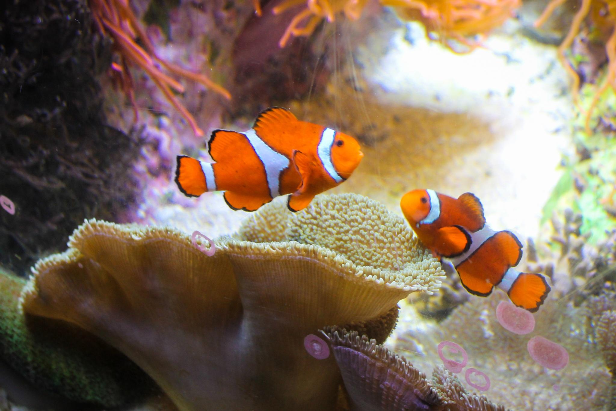 Marlin and Nemo by Mark Hootman