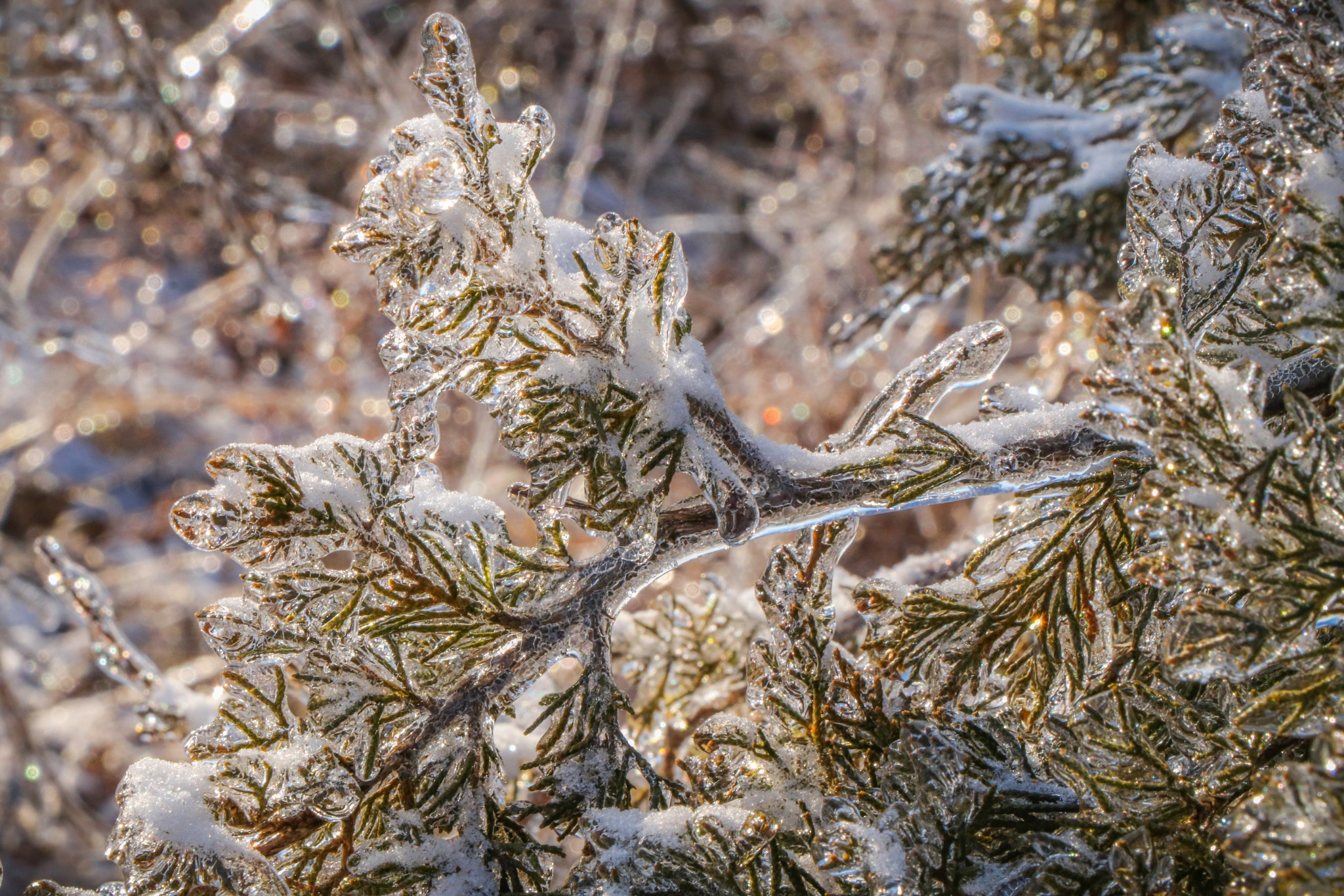 Photo in Nature #snow #ice #branches #pine #needles #winter