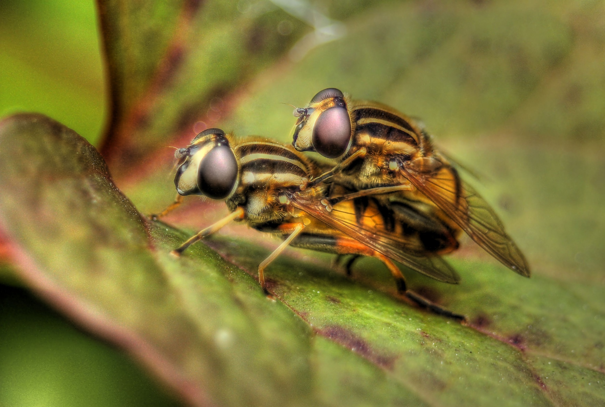 Hoverfly Lovers by Graham Janes