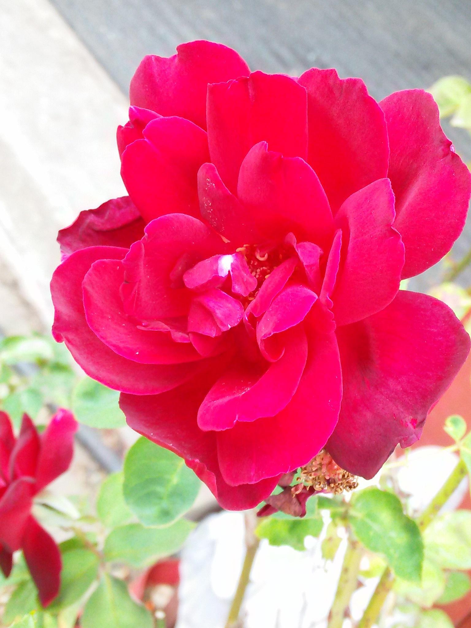 Rose by BreAnna Hudson