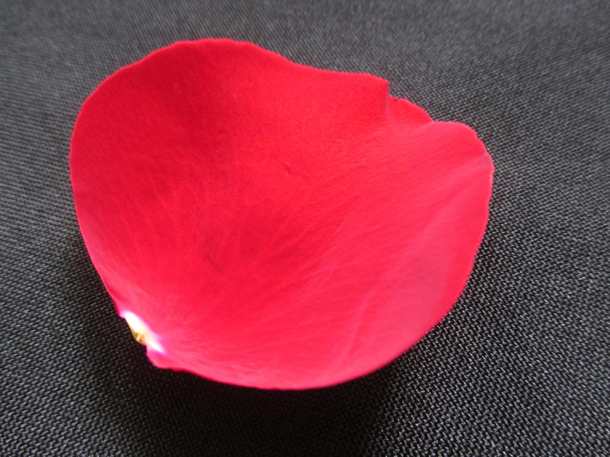 Rose petal by Lamar Smith
