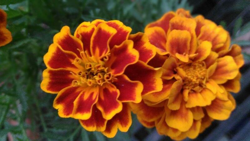 Beautiful flower by ace1672014