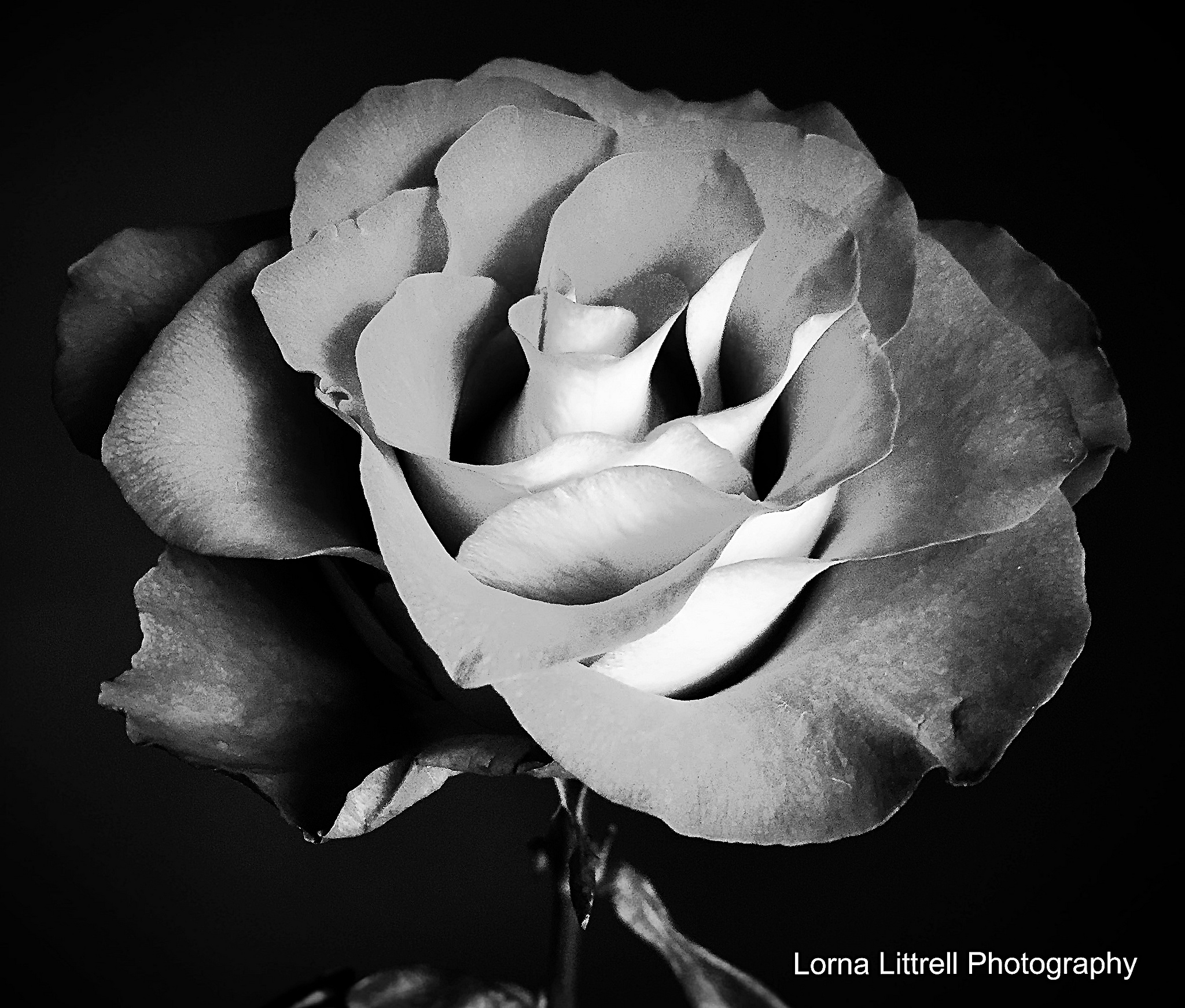 Photo in Black and White #rose #black and white #flower