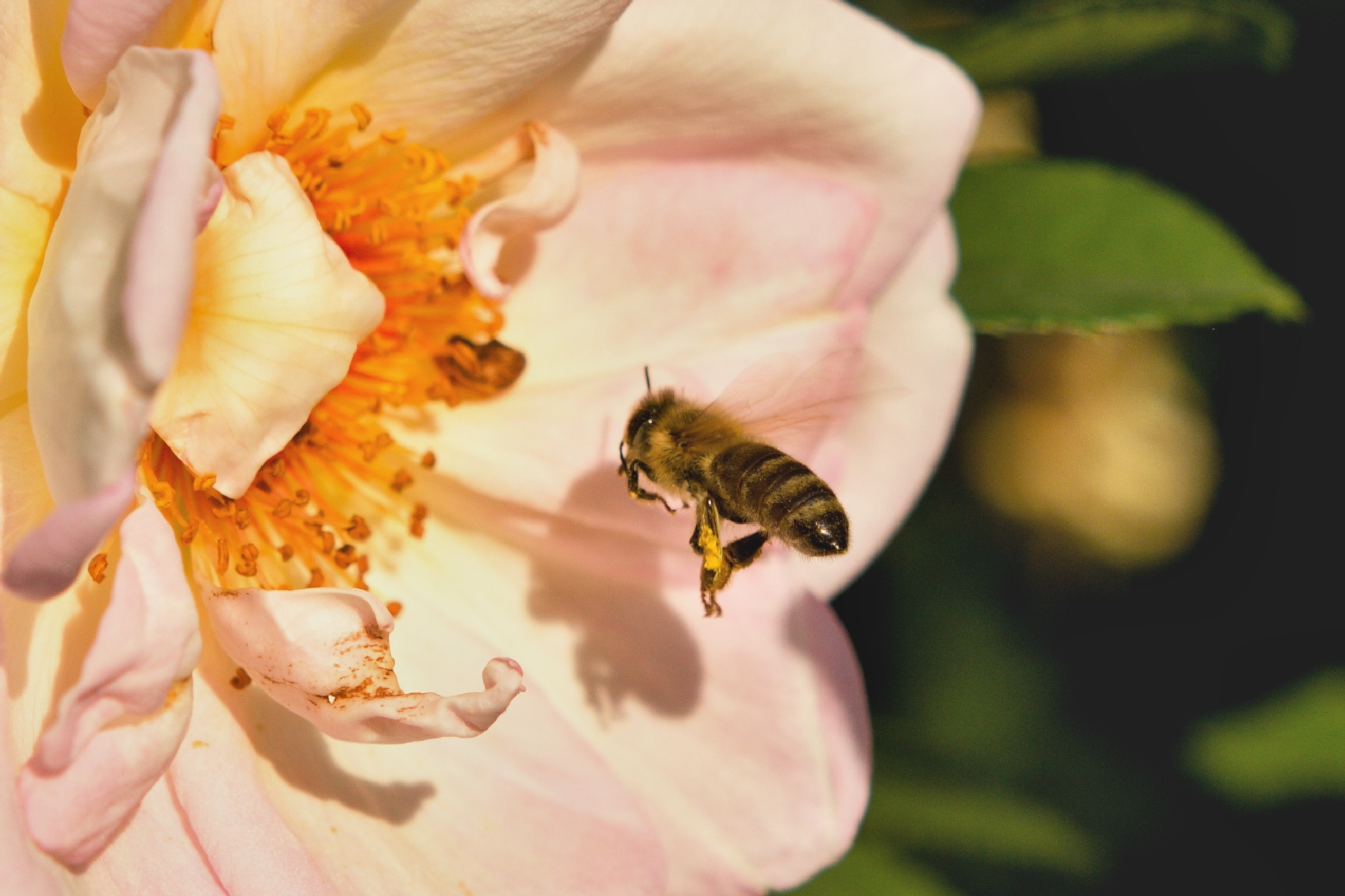 Rose and bee by ronim