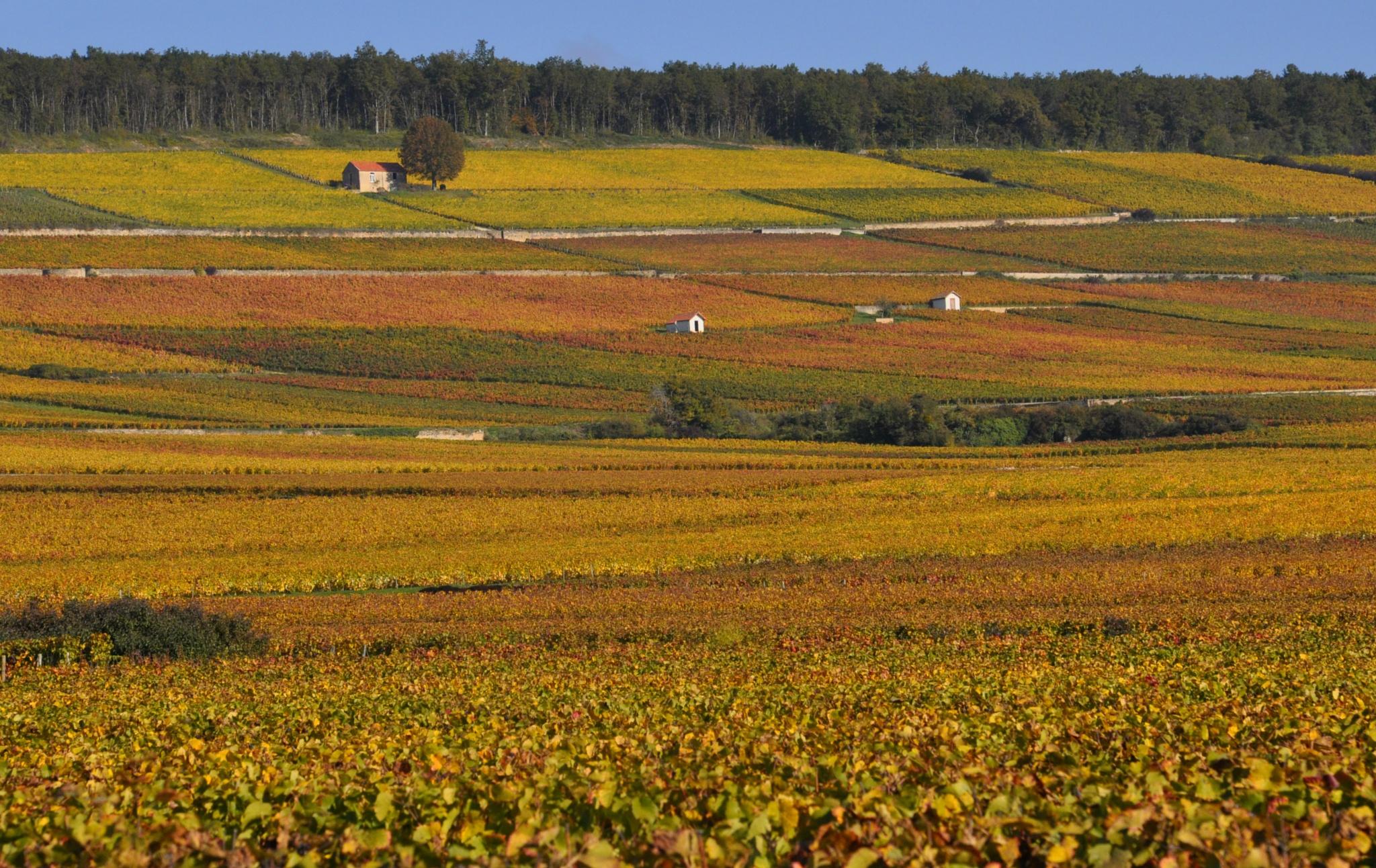 Viñedos en Dijon by Kaztillo Fotografía