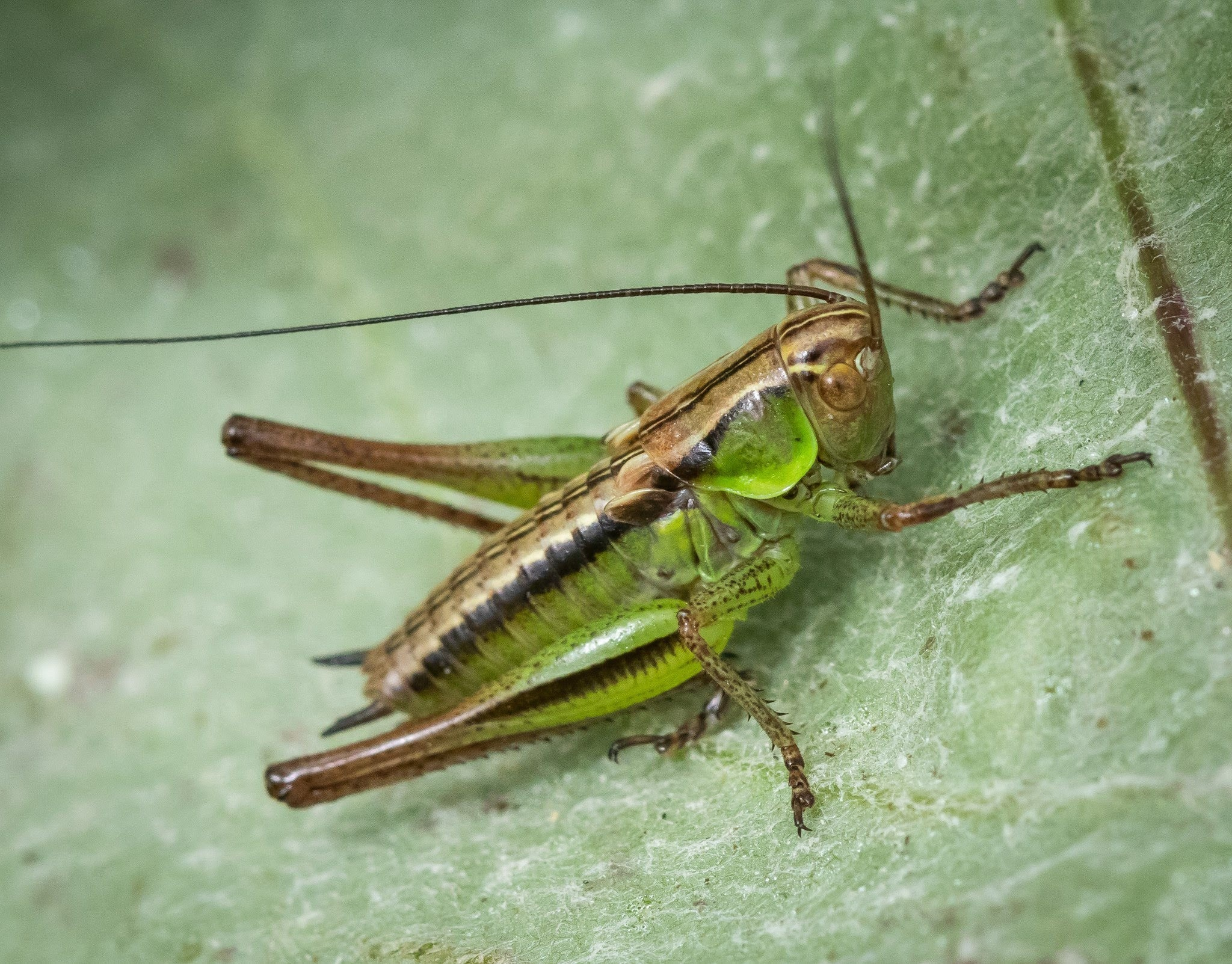 Roasel's bush - cricket by Janne Karppinen
