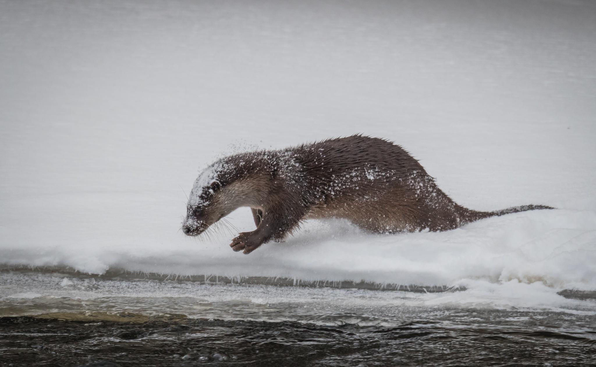 An otter. by Janne Karppinen
