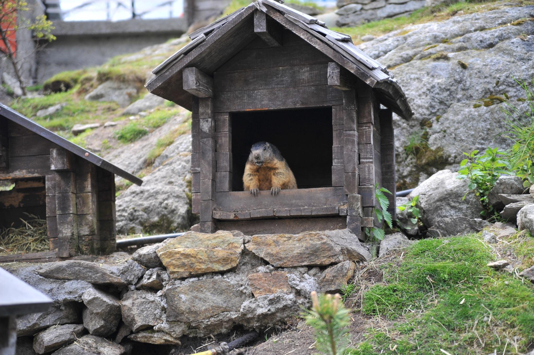 marmots by EsbenDK