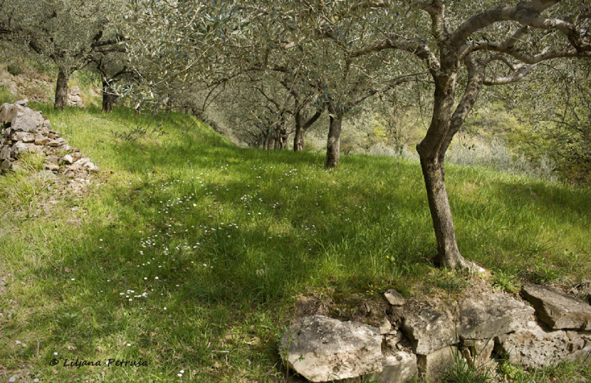 Olive trees II by lpetrusa
