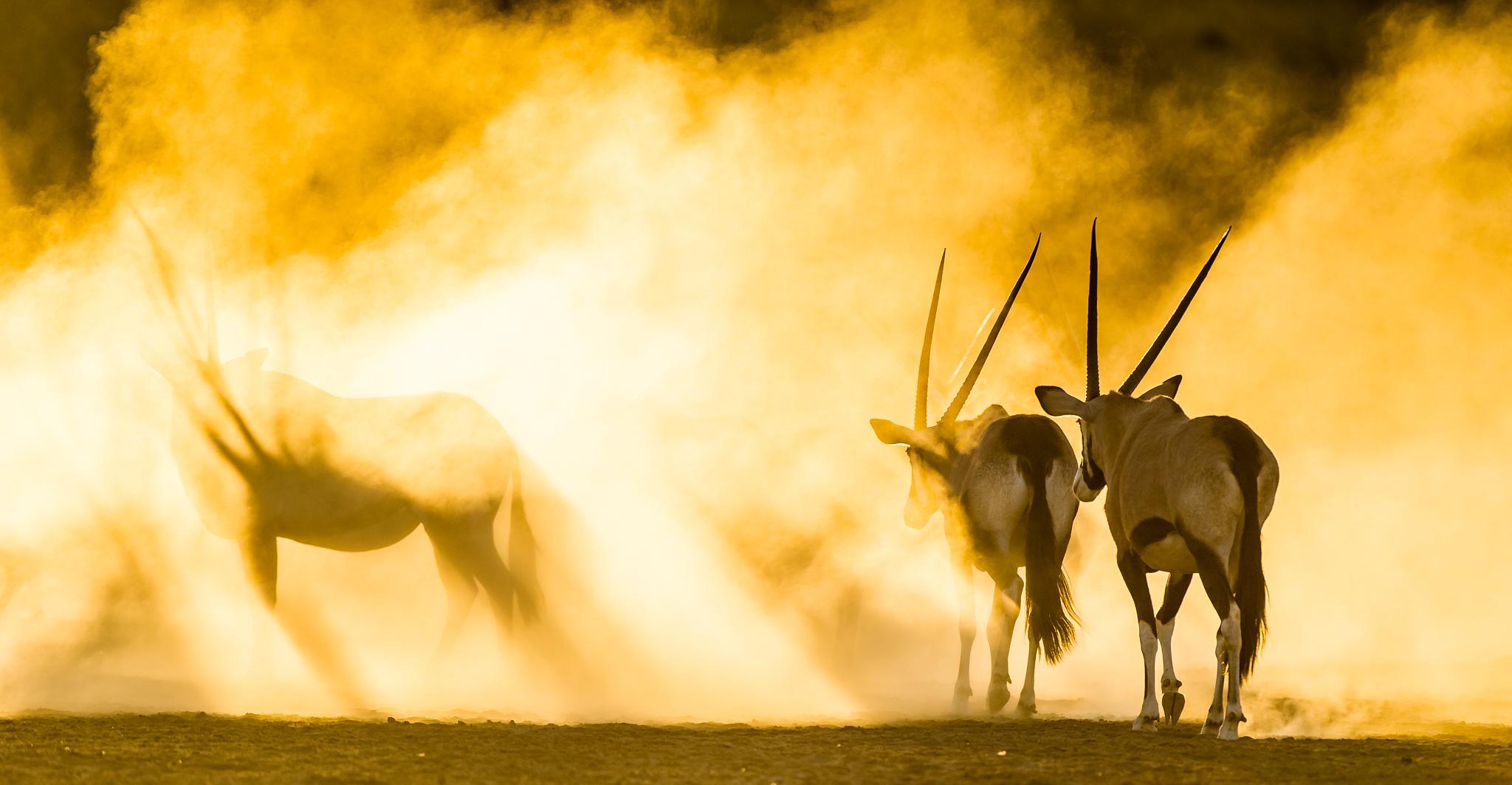 Photo in Animal #oryx #nature #bridgena #arid
