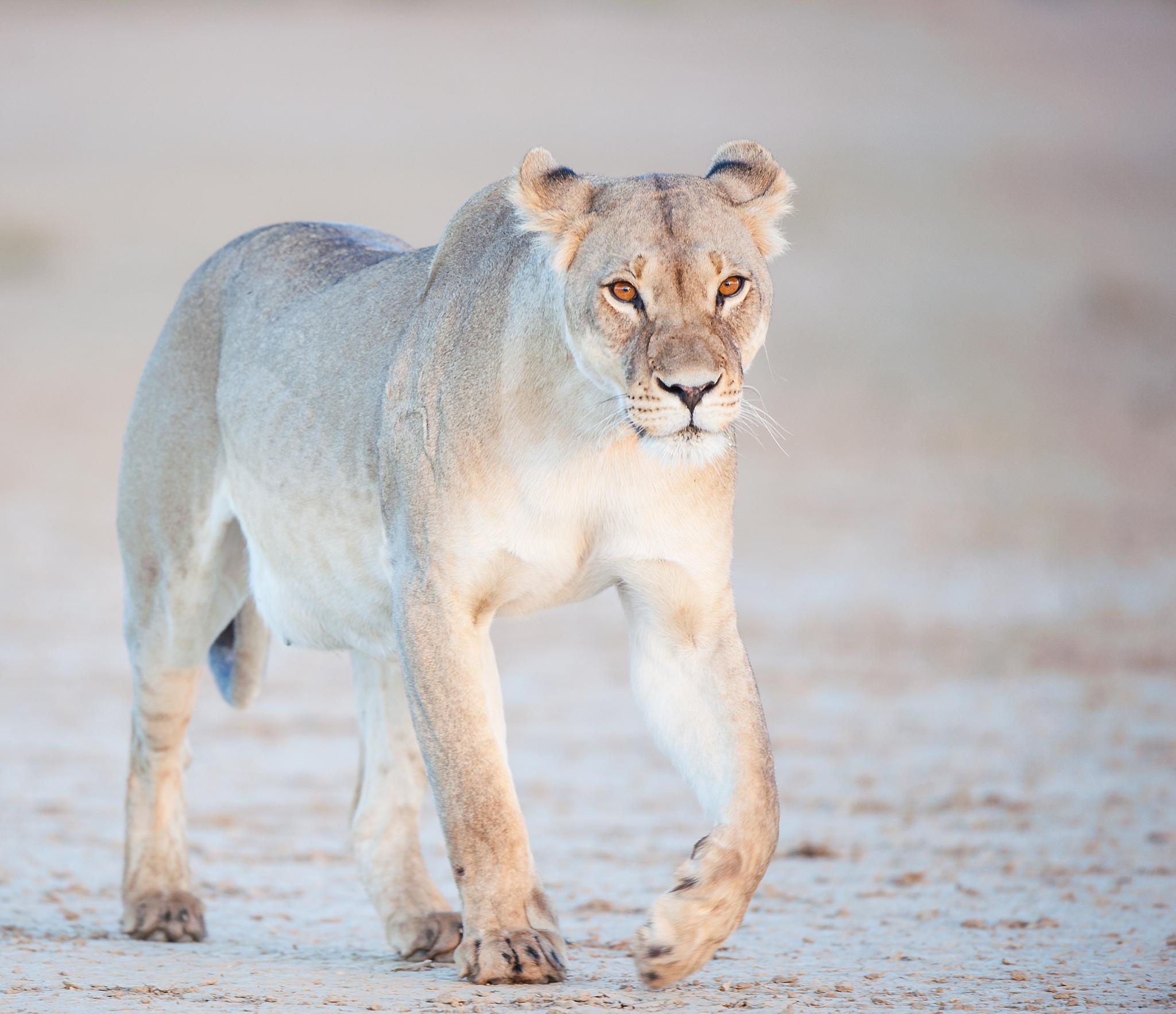 Lioness by Bridgena Barnard