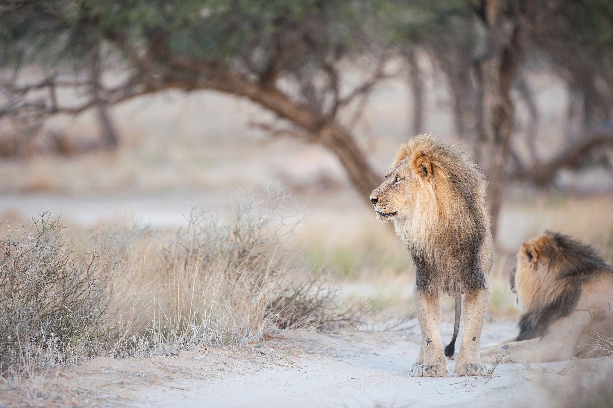 Lions by Bridgena Barnard