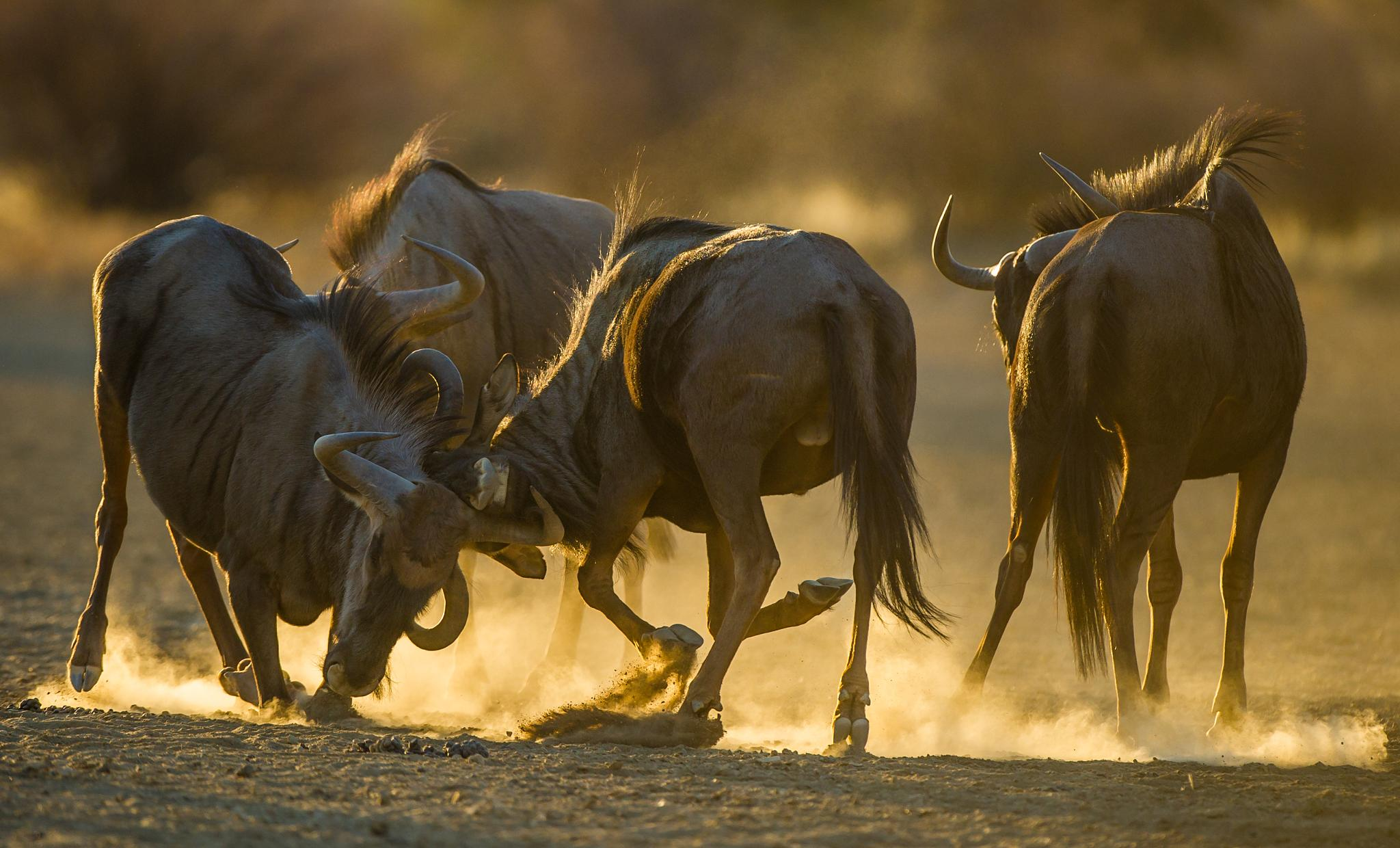 Blue wildebeest Fight in gold by Bridgena Barnard