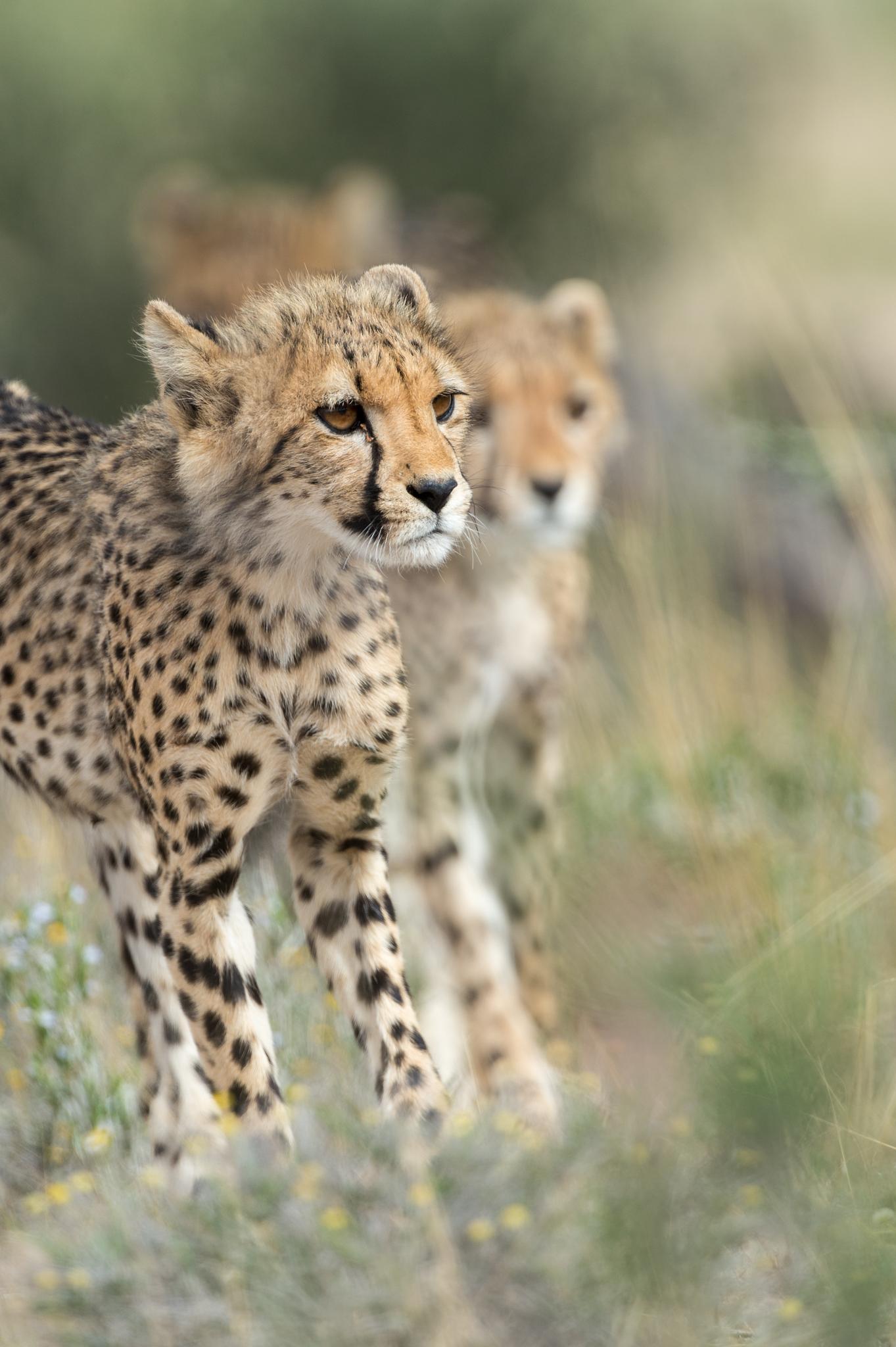 Cheetah visions by Bridgena Barnard