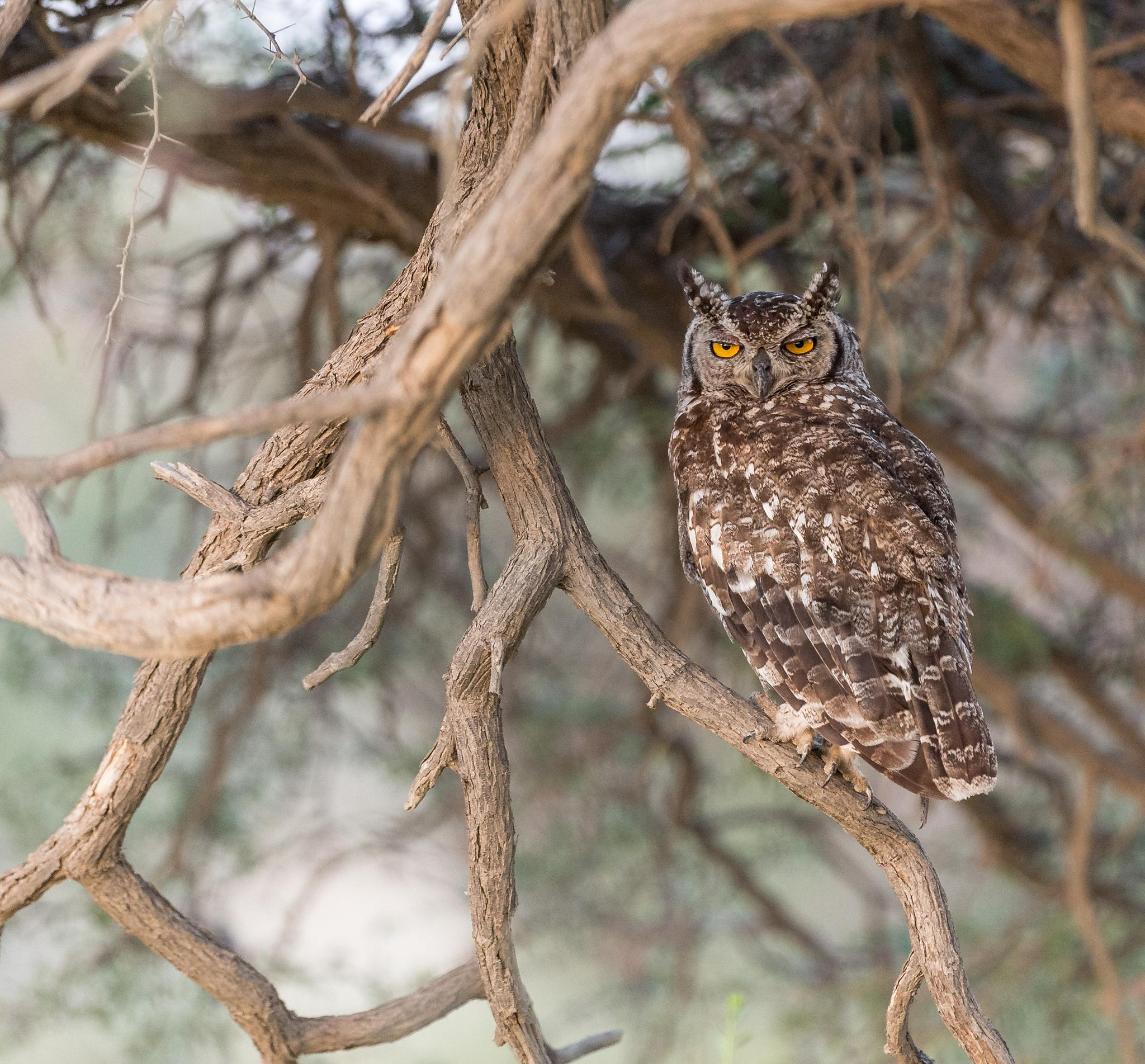 Spotted Eagle-Owl by Bridgena Barnard
