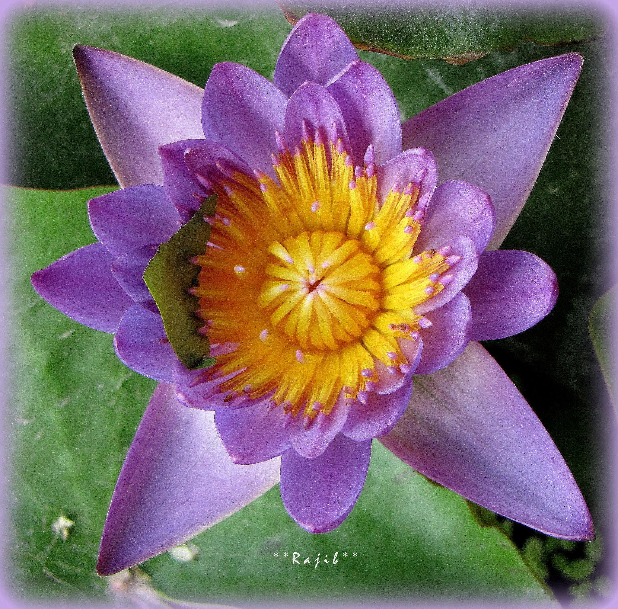 Lotus by saharajib