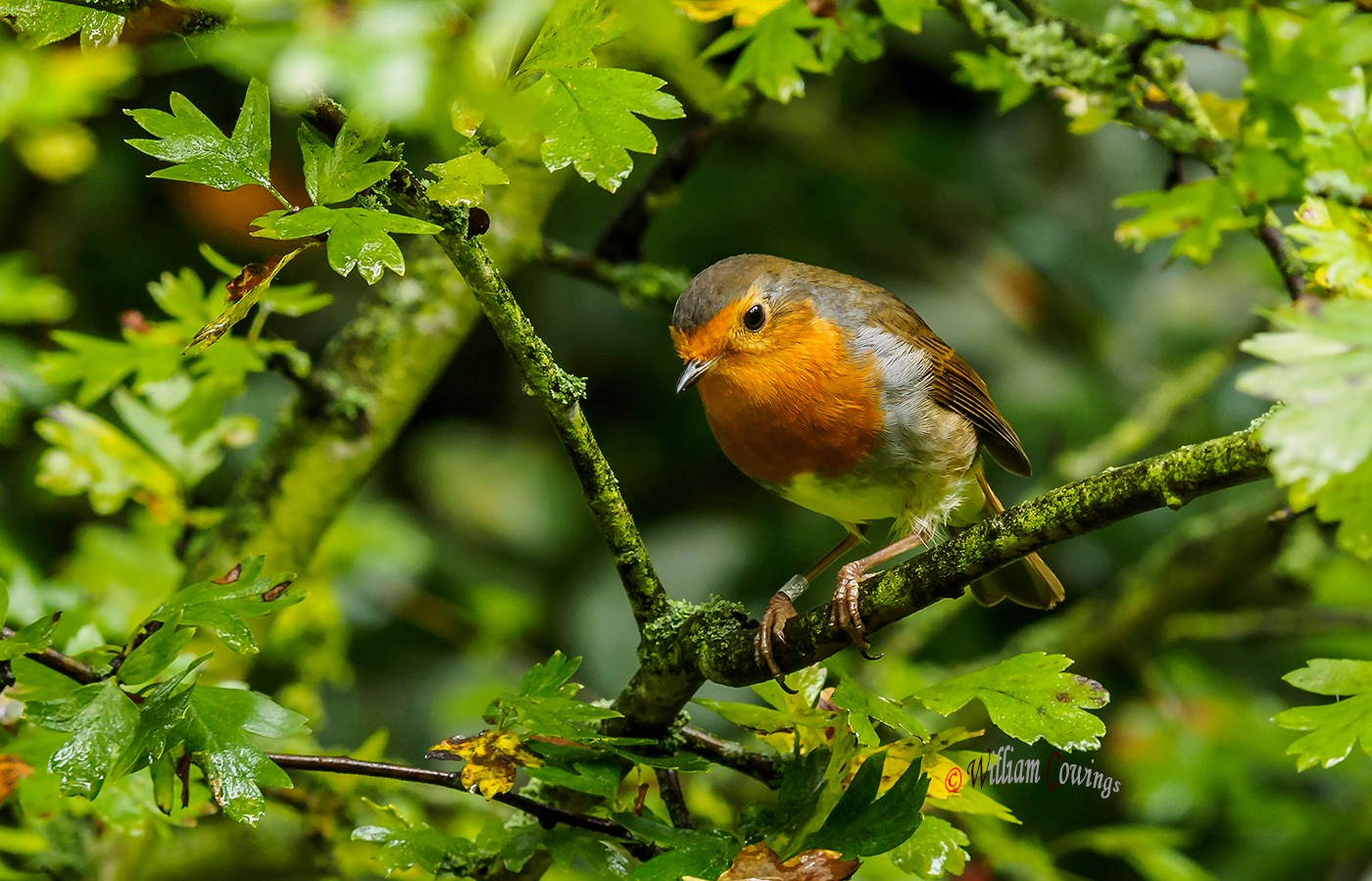Robin by williamcowings