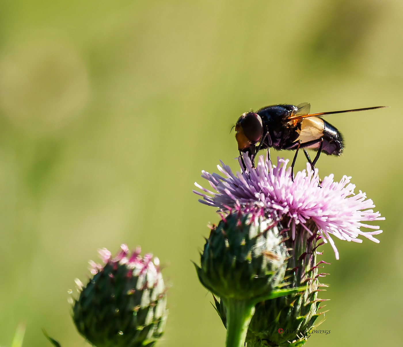 Hover fly by williamcowings