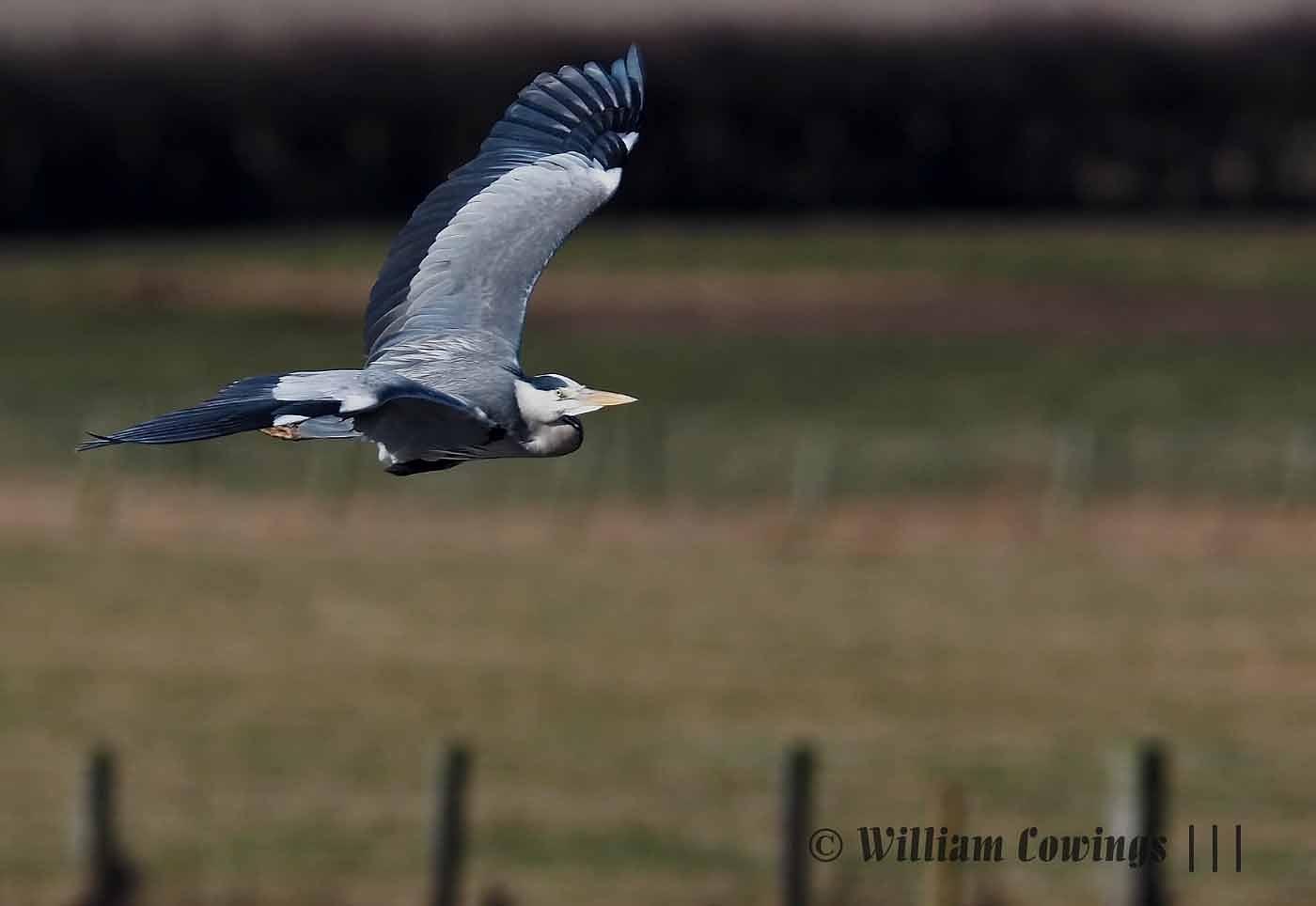 Grey Heron Flight by williamcowings